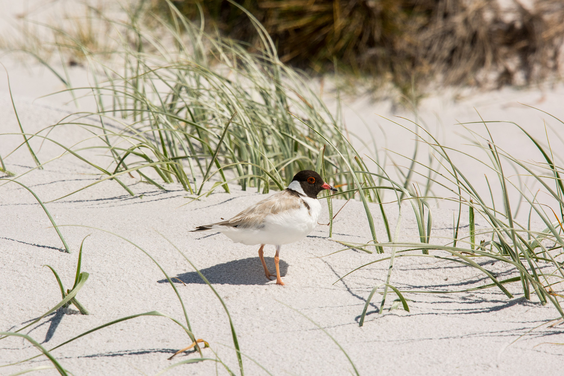 Hooded plover (dotterel)