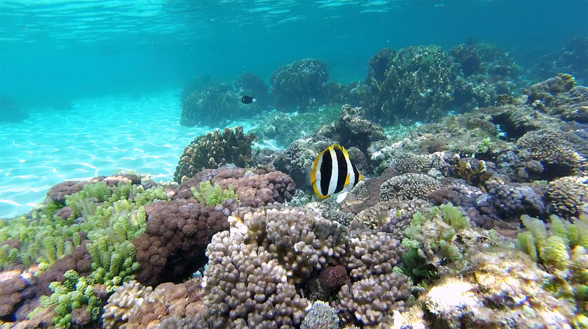 Lord Howe Coralfish