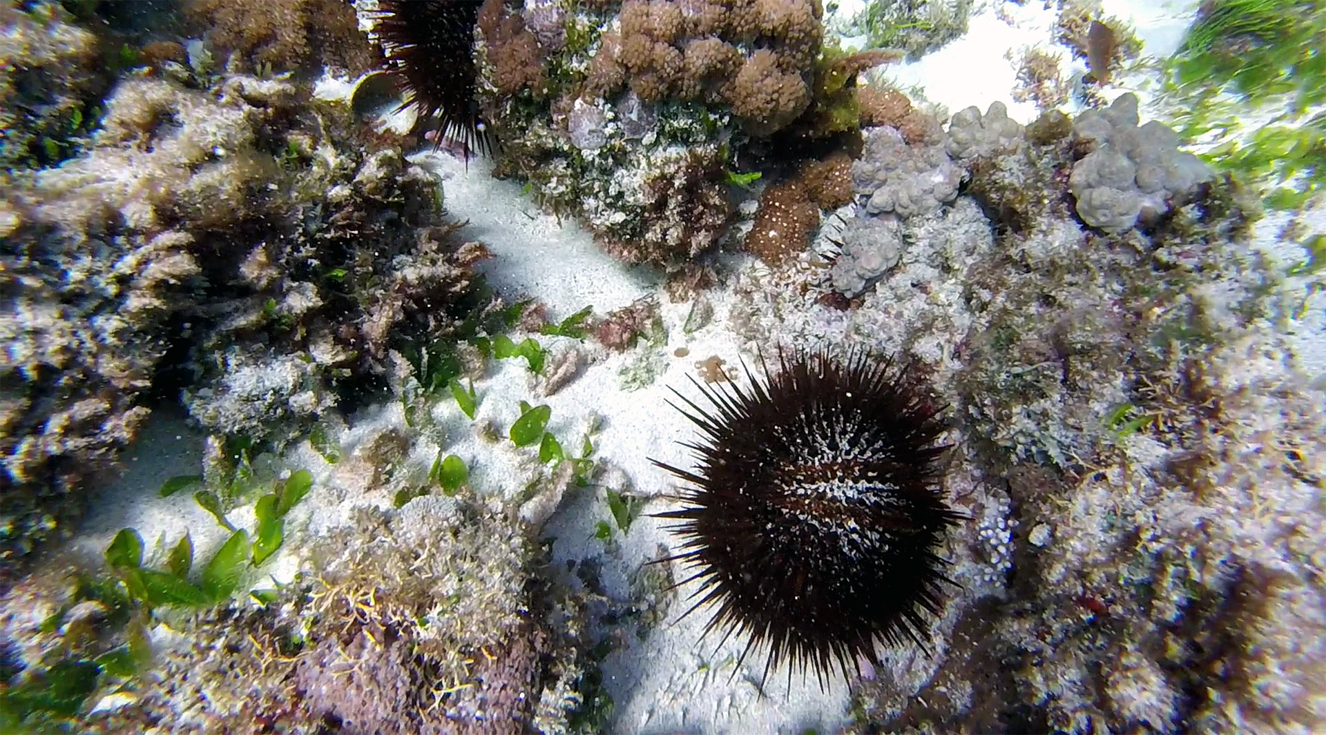 Long-spine urchin