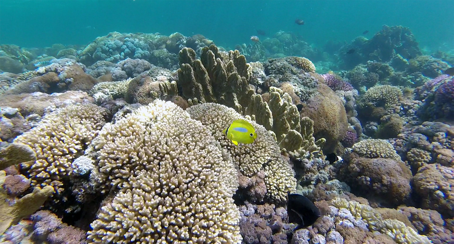 Blue spot butterflyfish