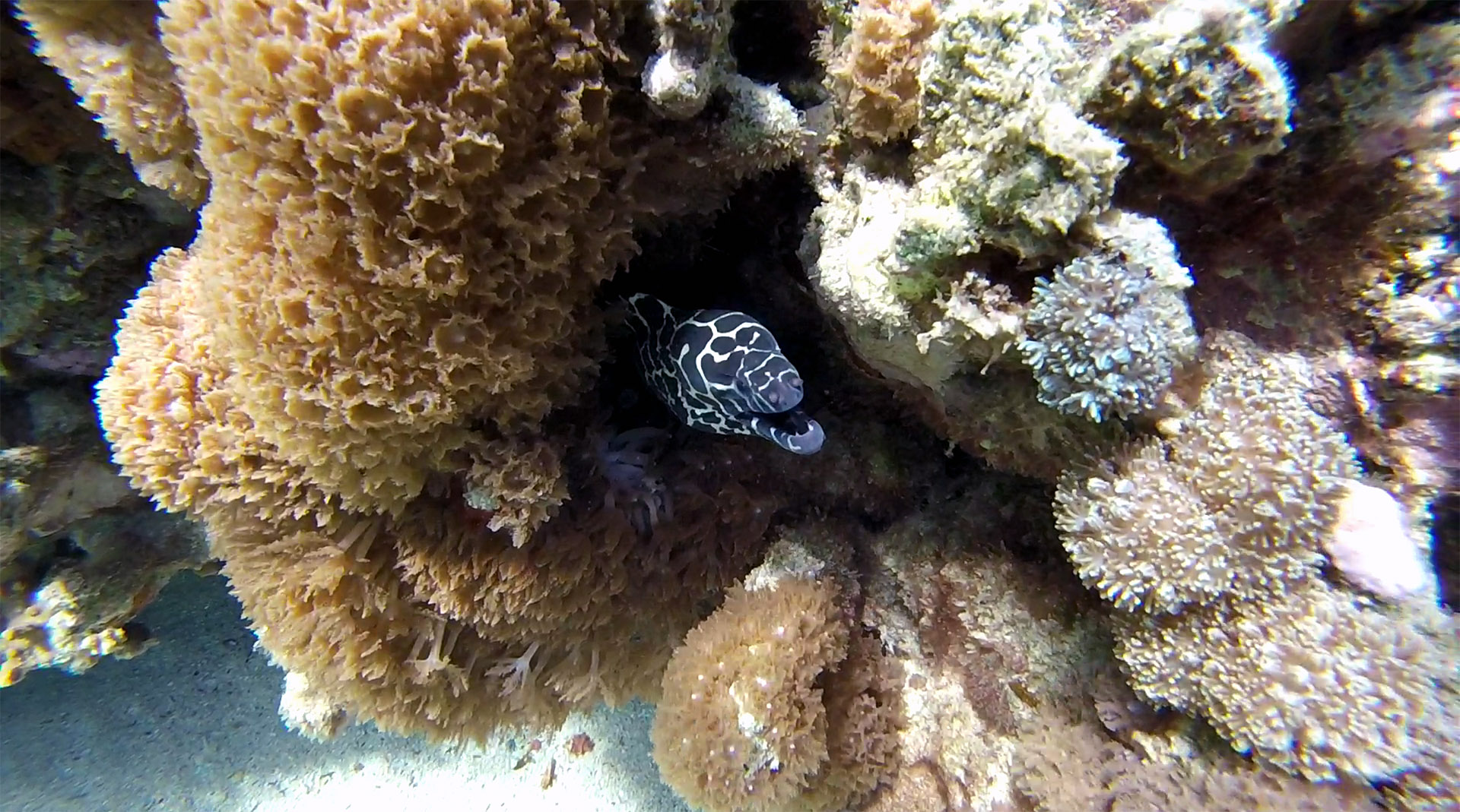 Laced (honeycomb) moray