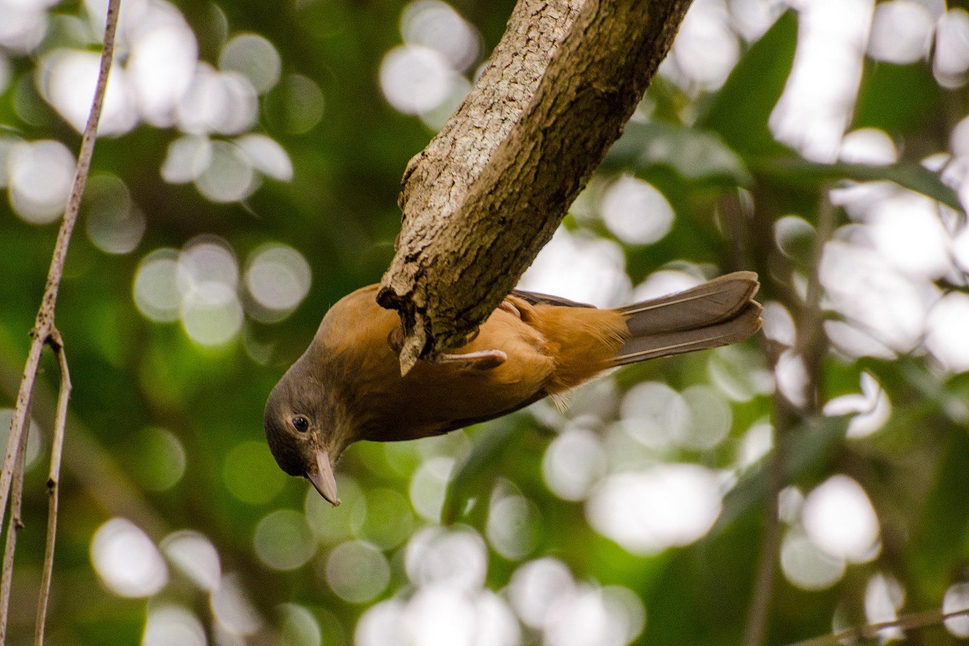 Little shrike-thrush (rufous shrike-thrush)