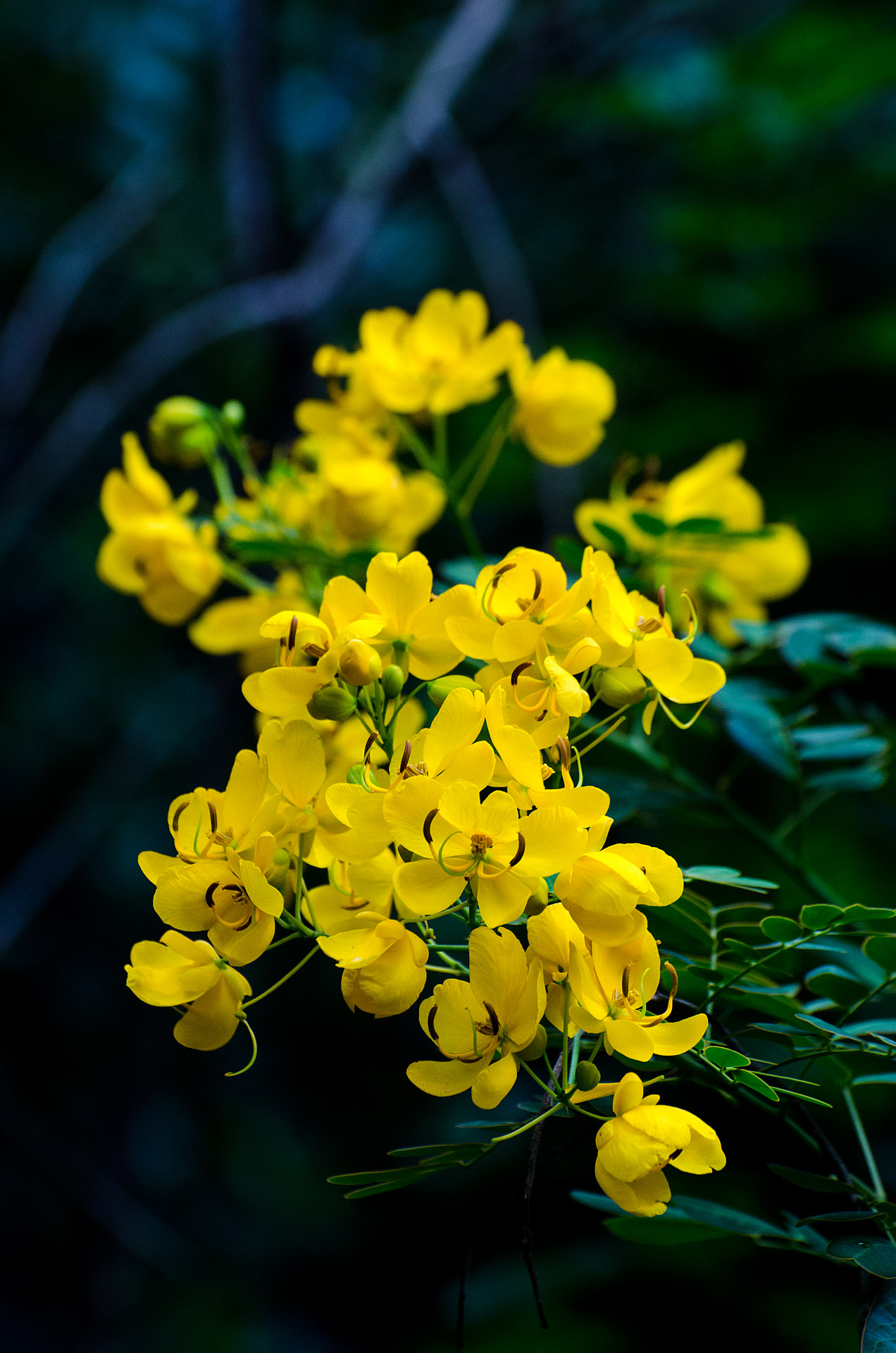 Easter cassia (another weed)