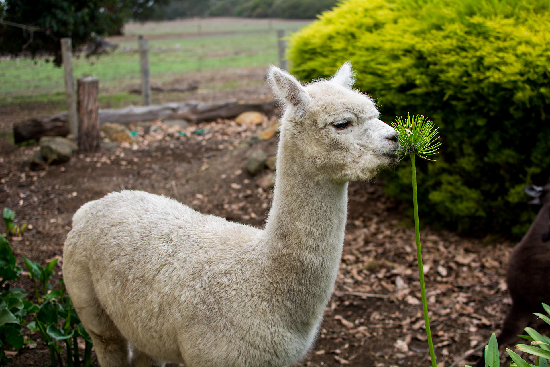 Ollie the alpaca