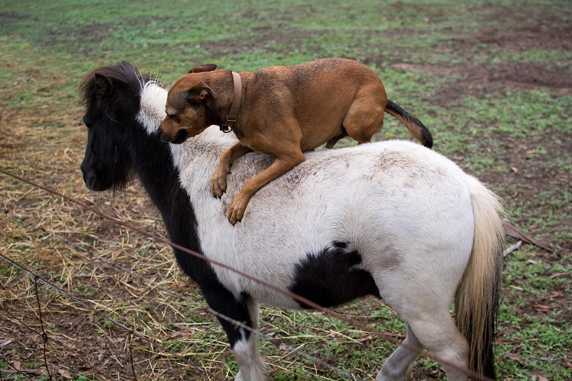 Buddy riding Weary the pony
