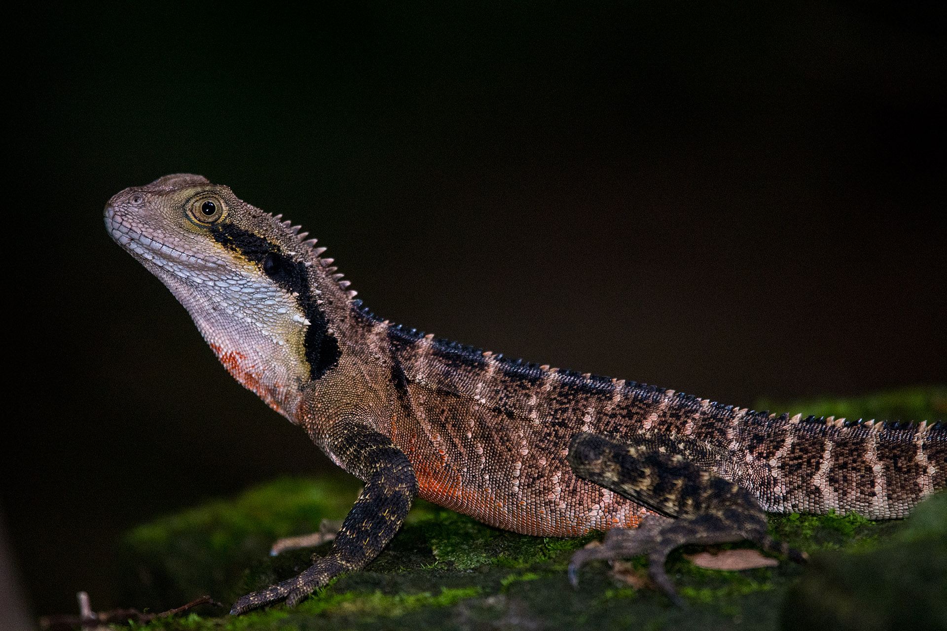 Australian water dragon (adult male)