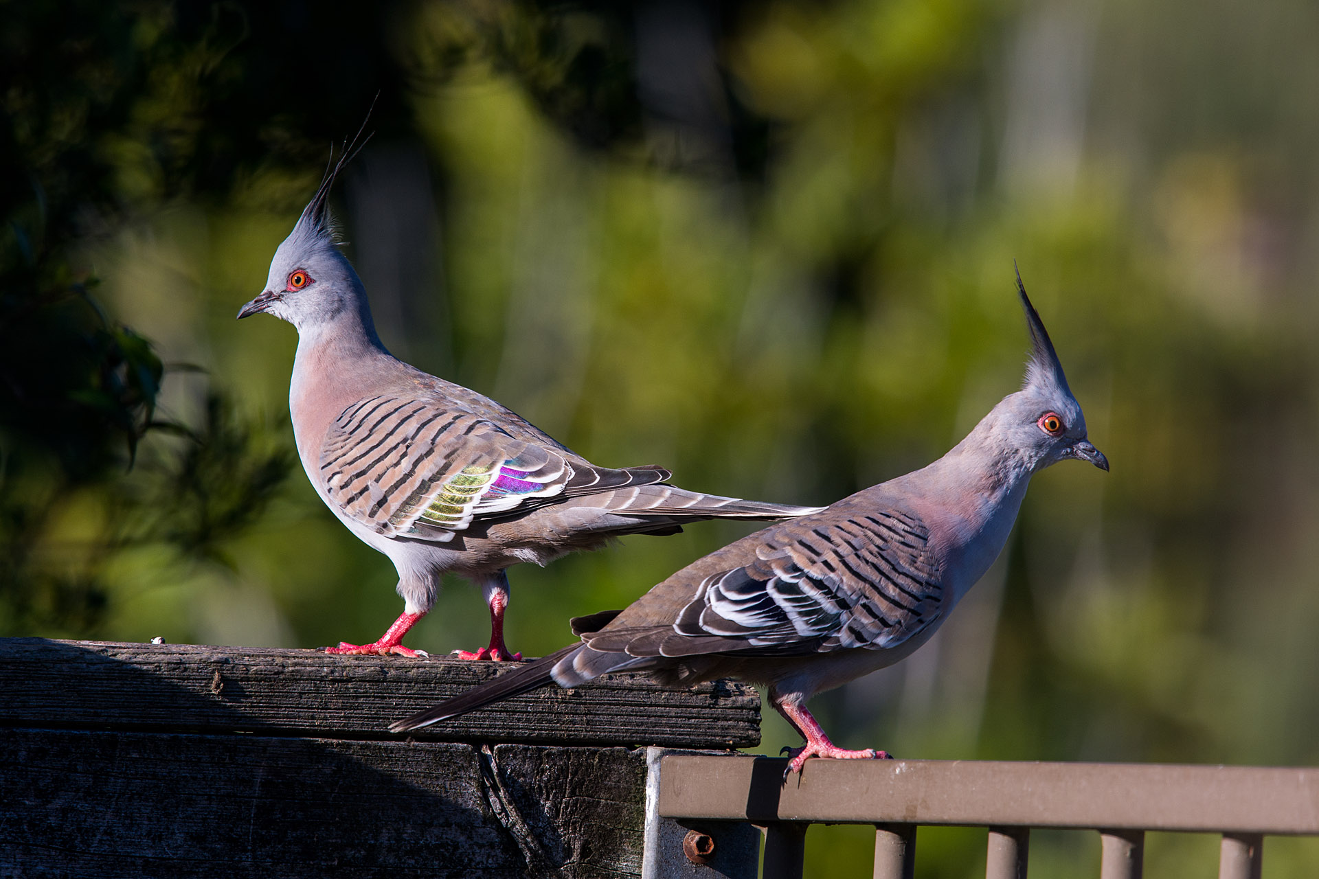 Crested pigeons (male & female)