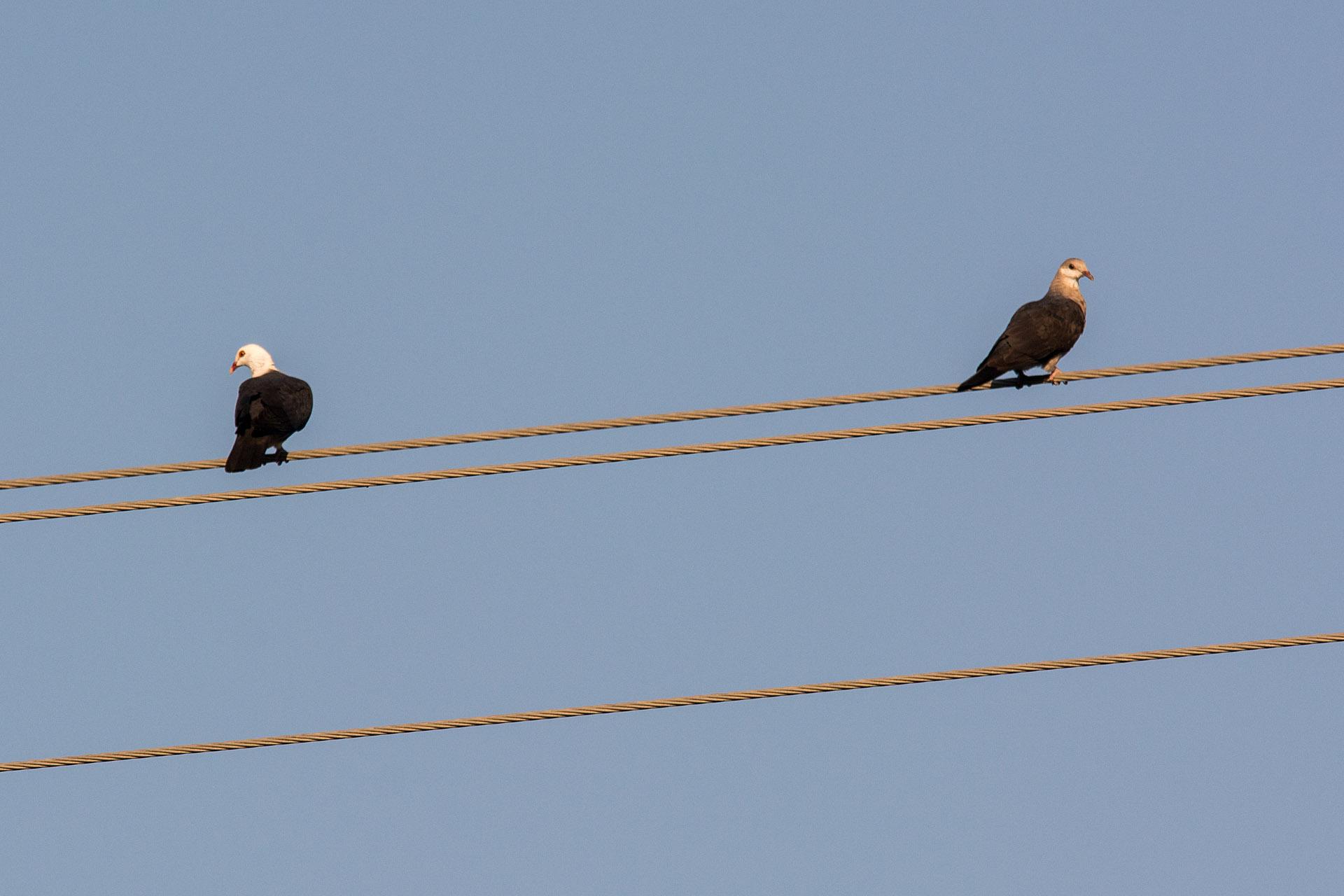 White-headed pigeon (male & female)