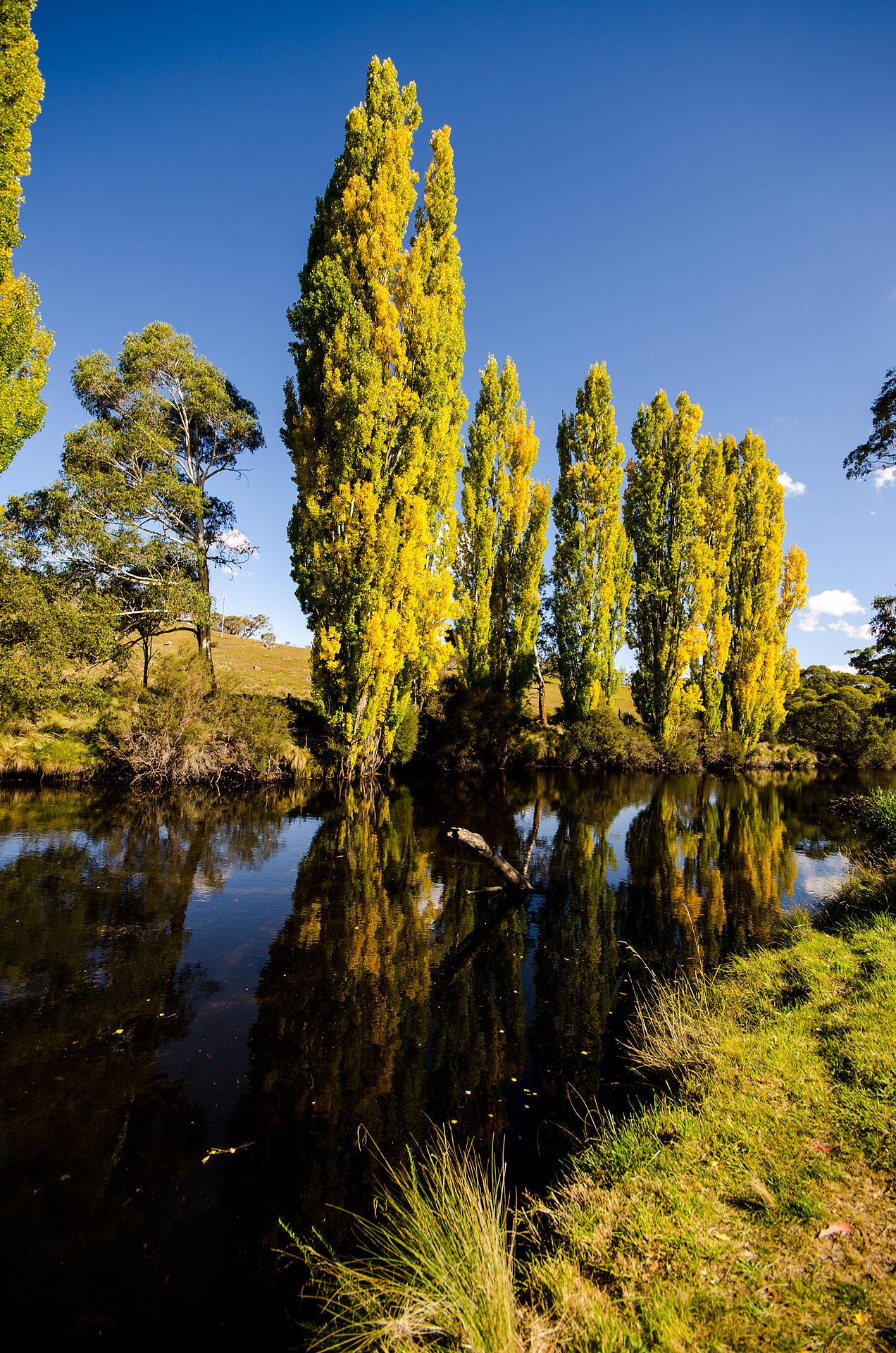 Poplars over the Thredbo River