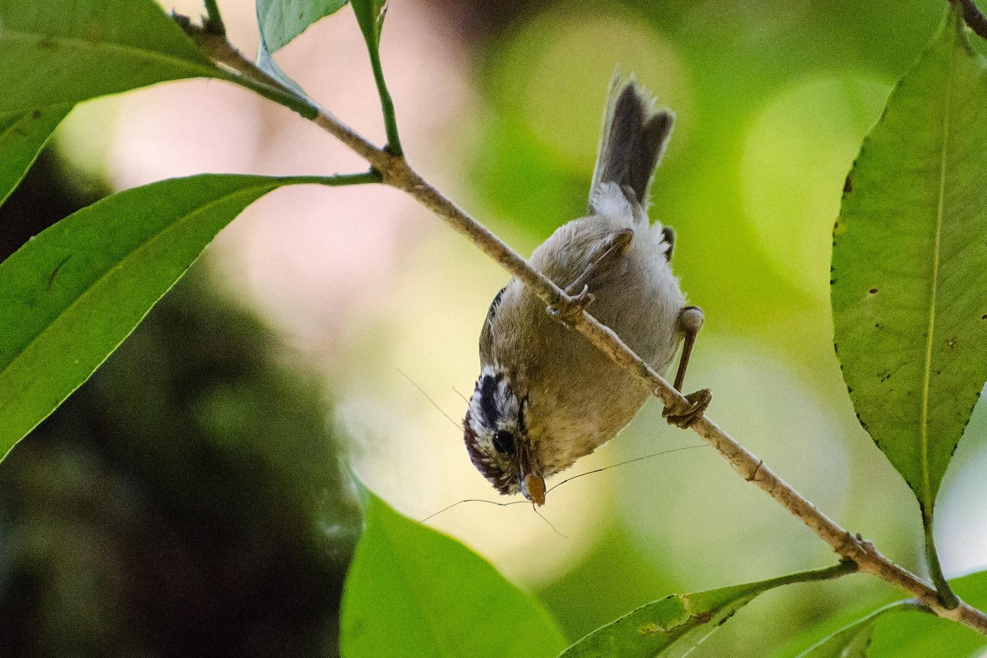 Chestnut-tailed (bar-throated) minla