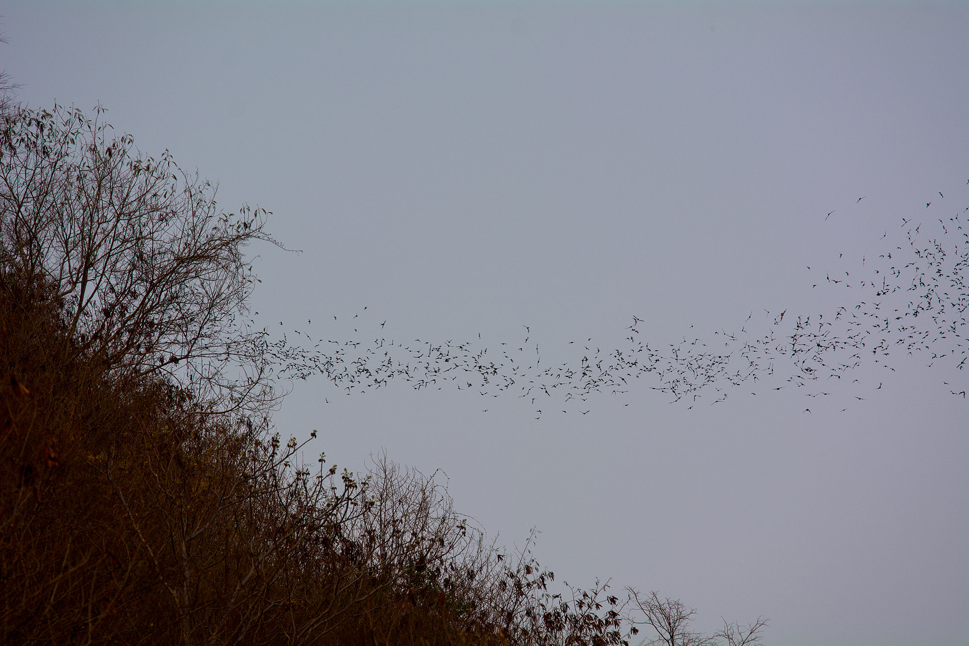 Horseshoe bats emerging from Khao Lak Chang