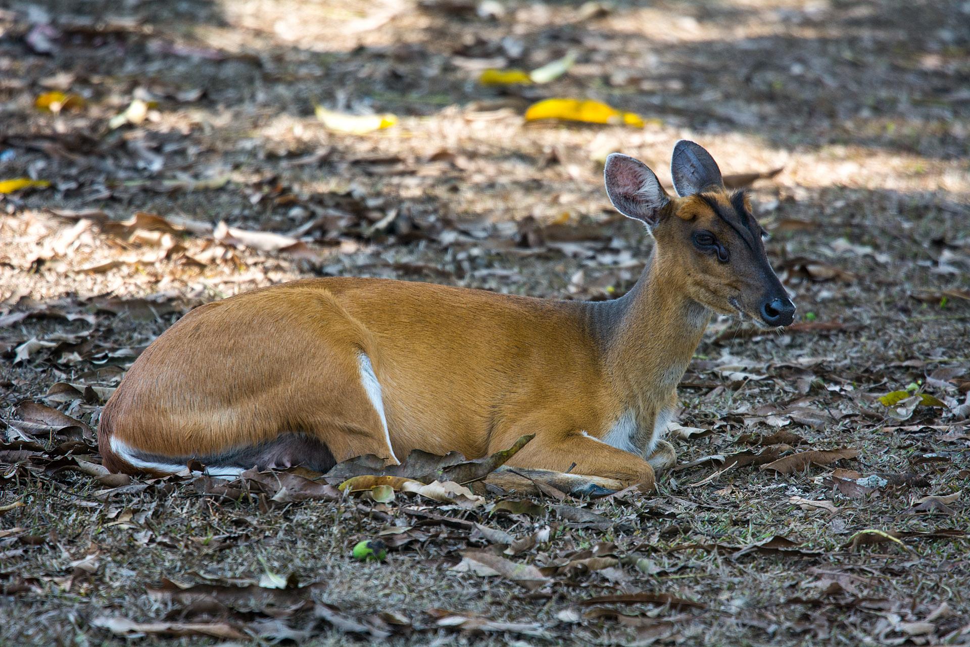 Muntjac (barking) deer