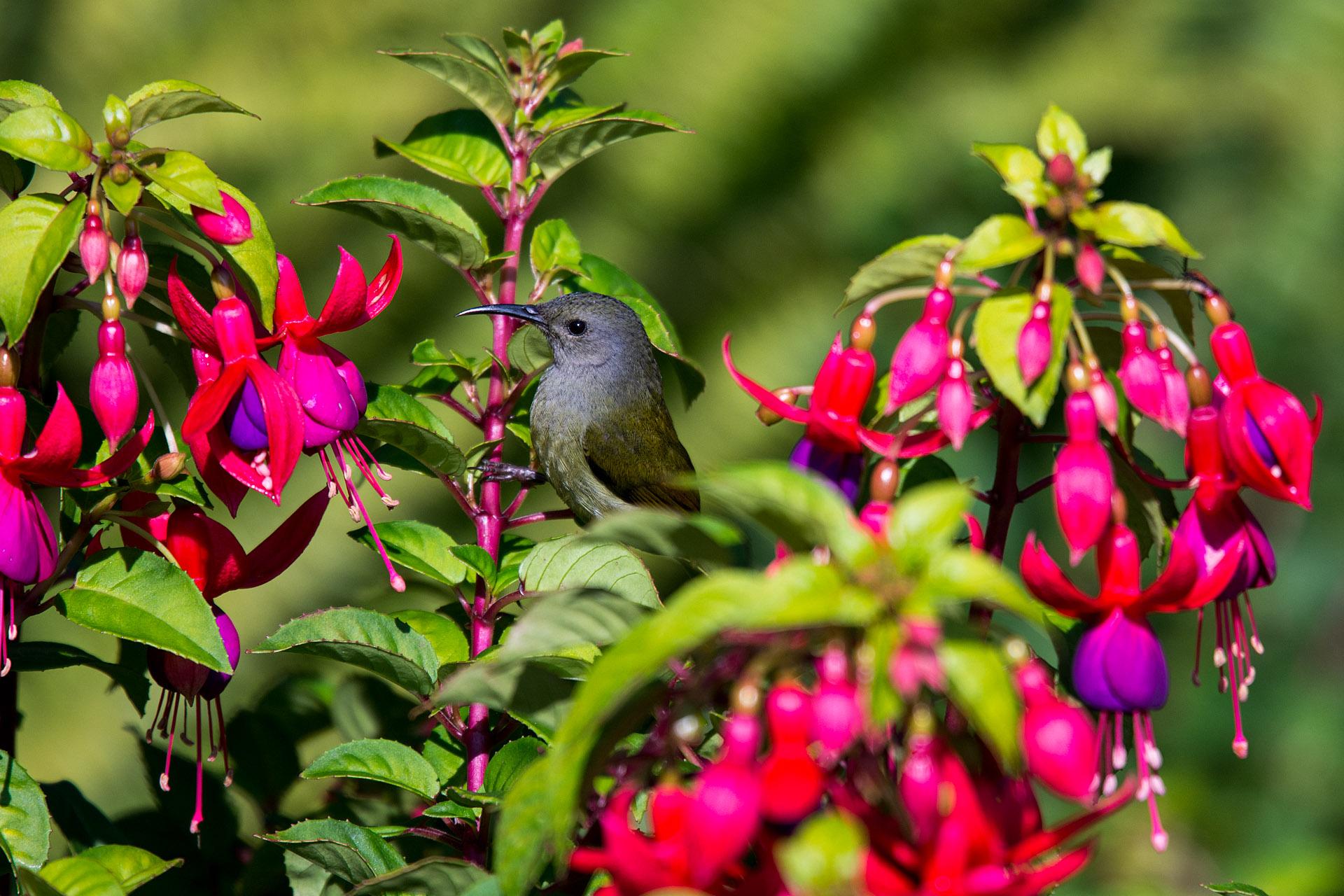 Green-tailed sunbird (female)