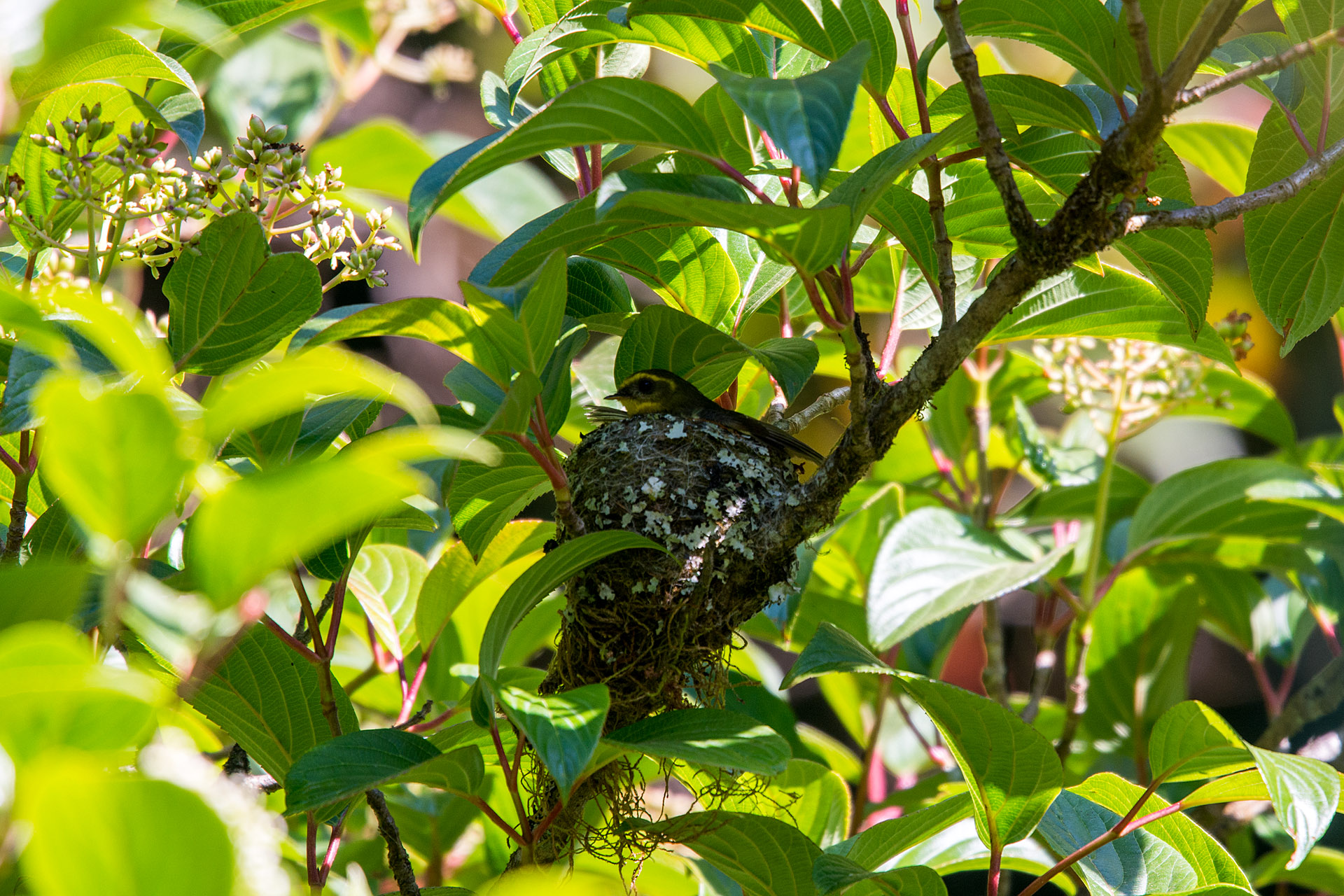 Yellow-bellied fantail nest