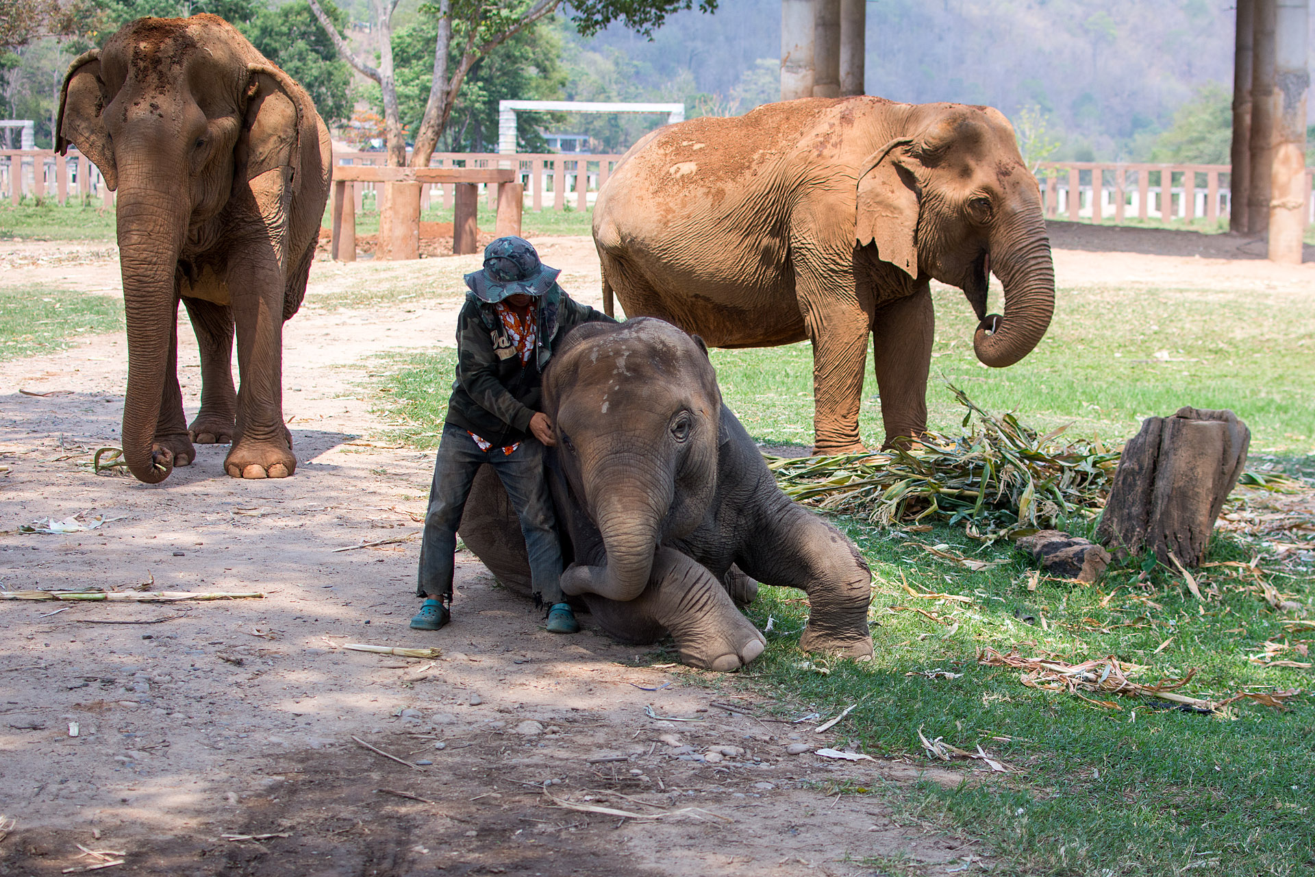 Yindee getting Thai massage from his mahout
