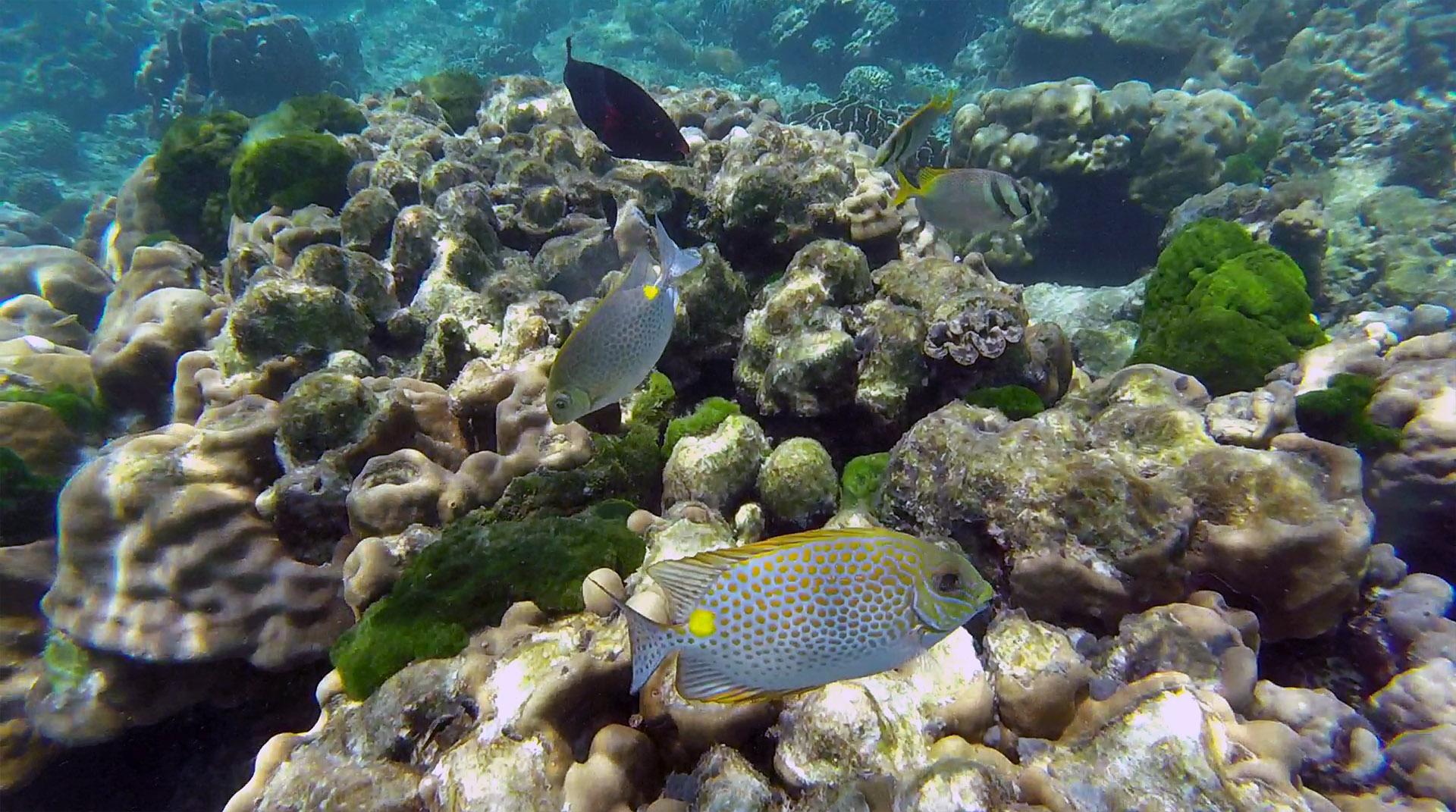 Gold-saddle rabbitfish