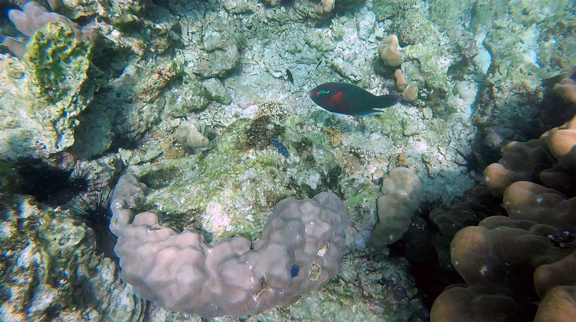 Dusky (swarthy) parrotfish
