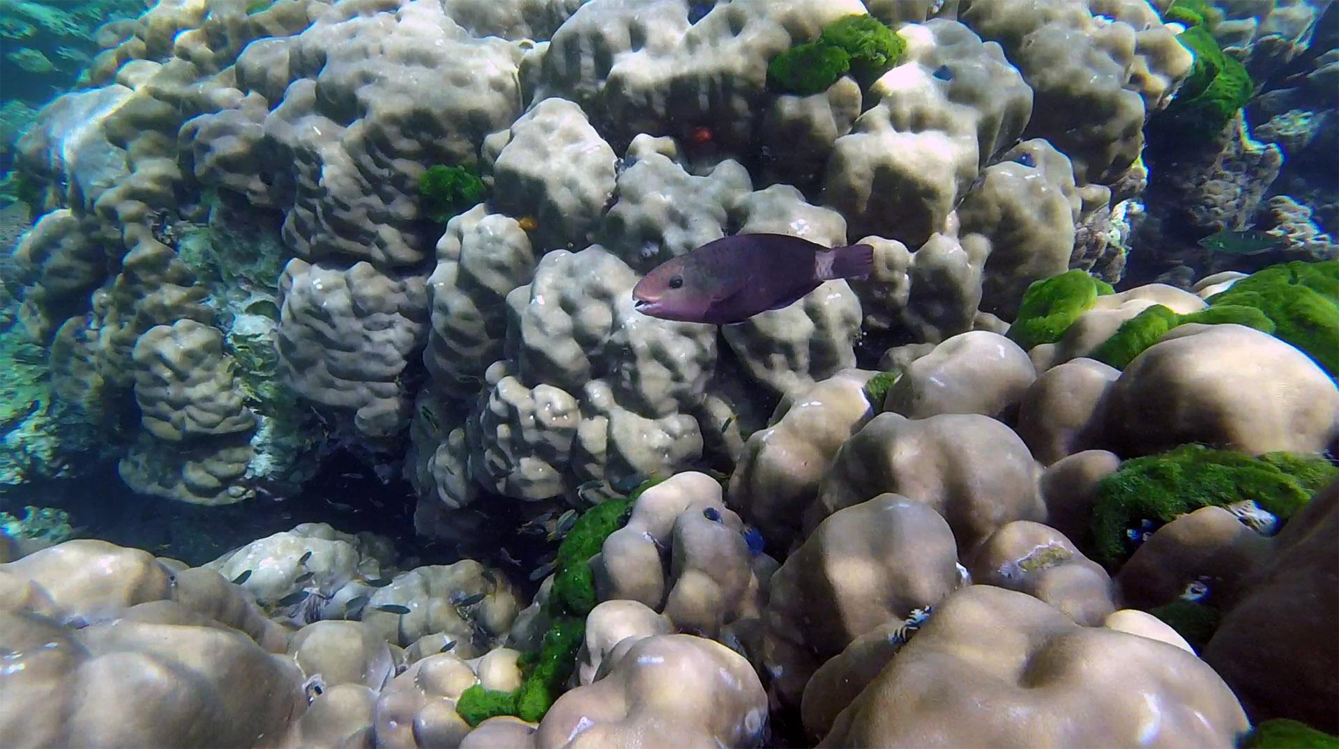 Bullethead parrotfish (female)