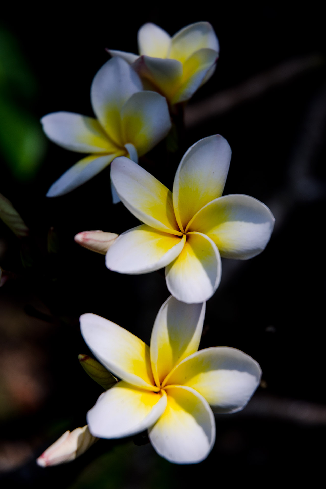 Plumeria (Dok Champa) - national flower of Laos