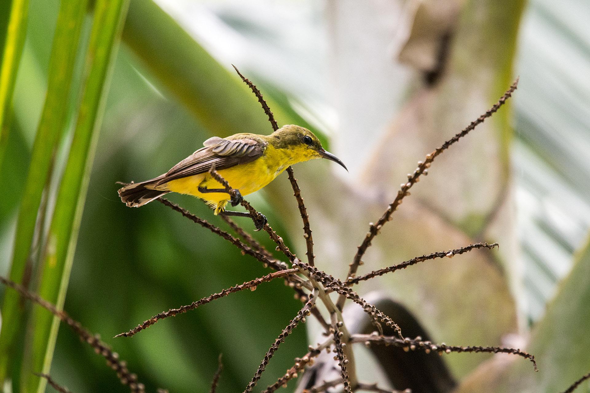 Olive-backed sunbird (female)