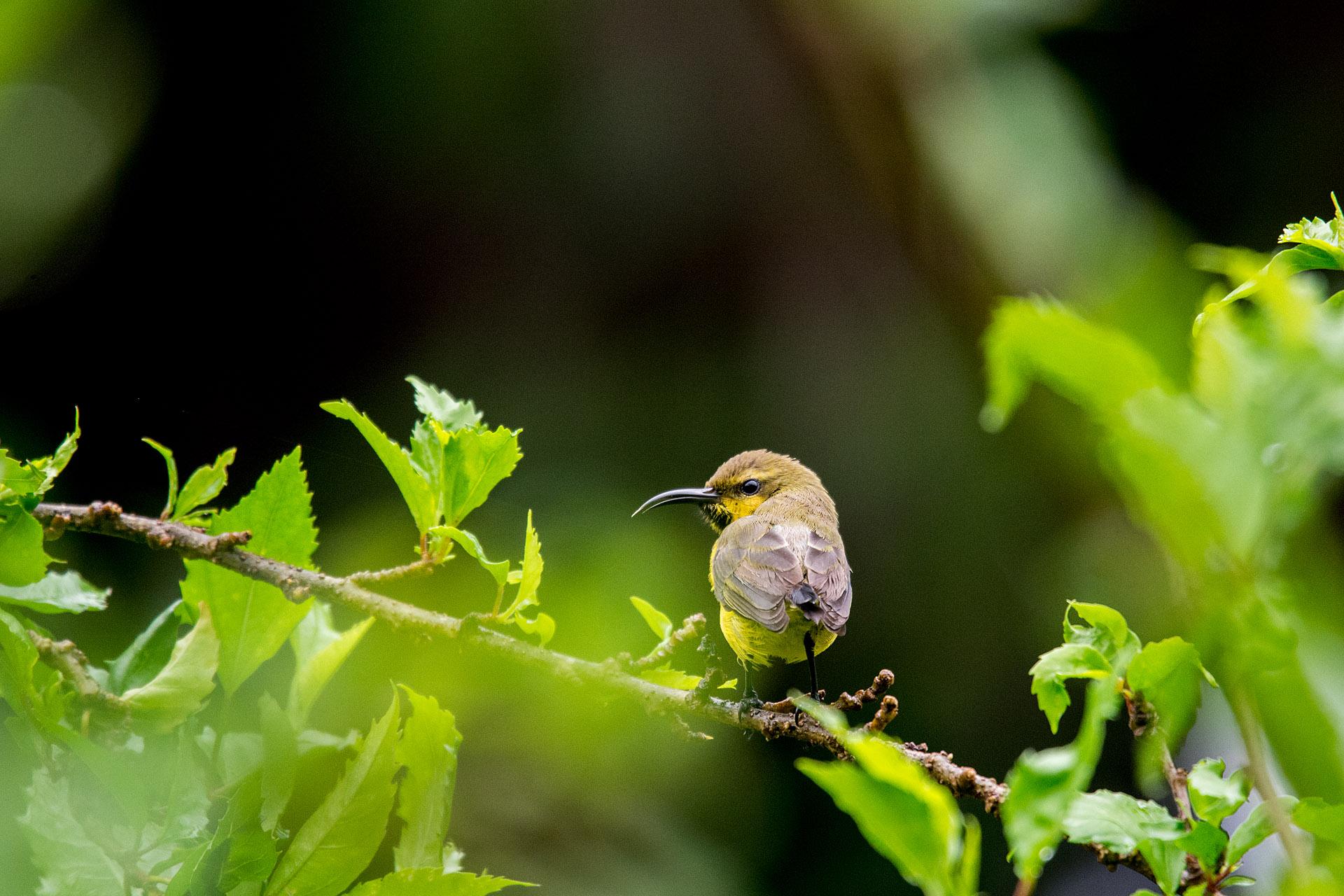 Purple sunbird (male, eclipse plumage)