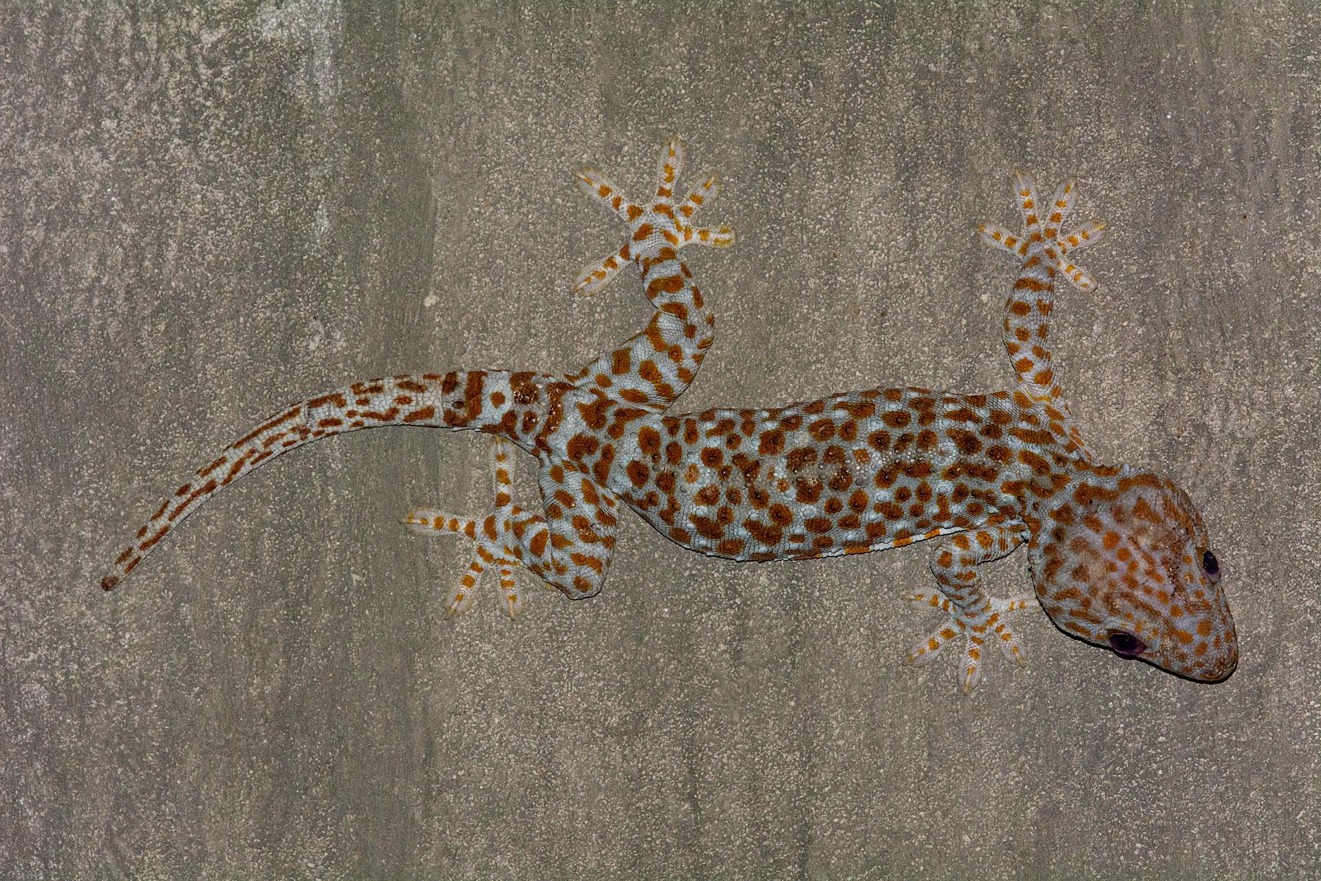 Tokay gecko ('Short Tail')