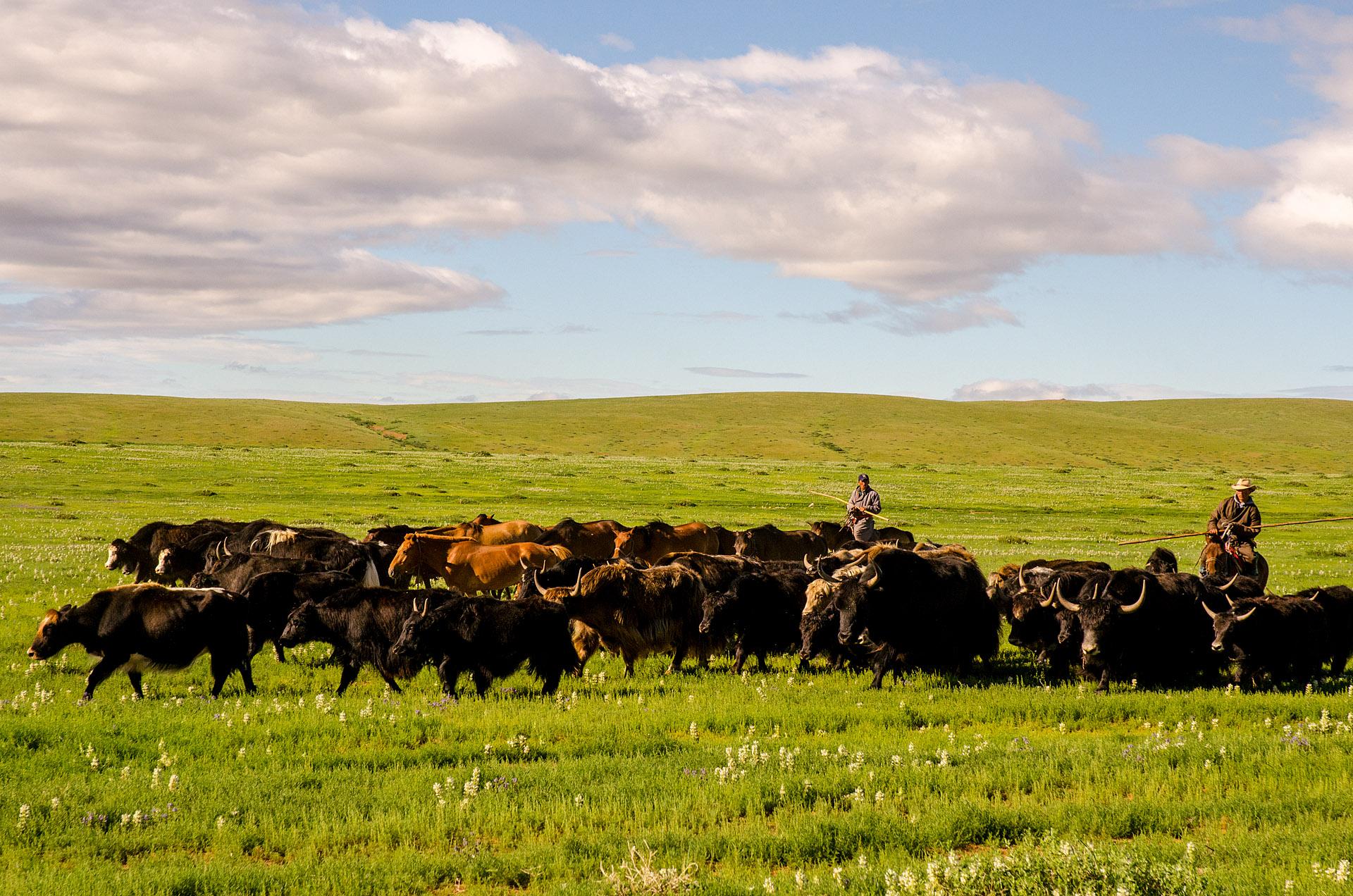 Herdsmen & yaks