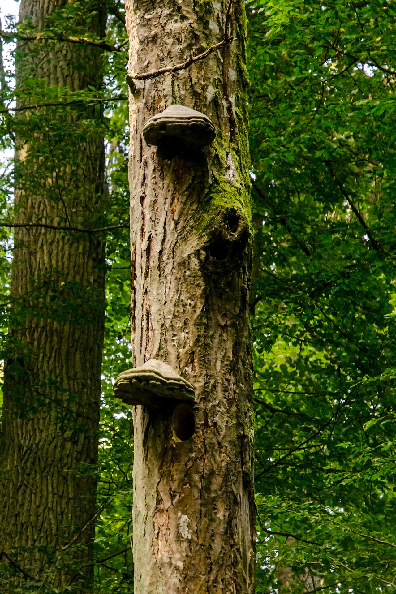 Woodpecker home with a shelf mushroom awning