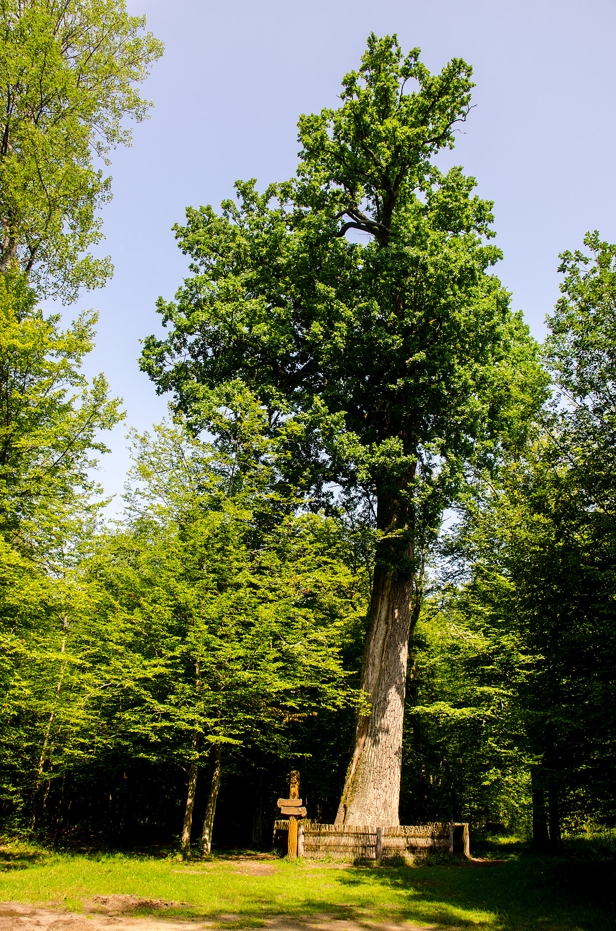 Patriarch Oak (600 years old)