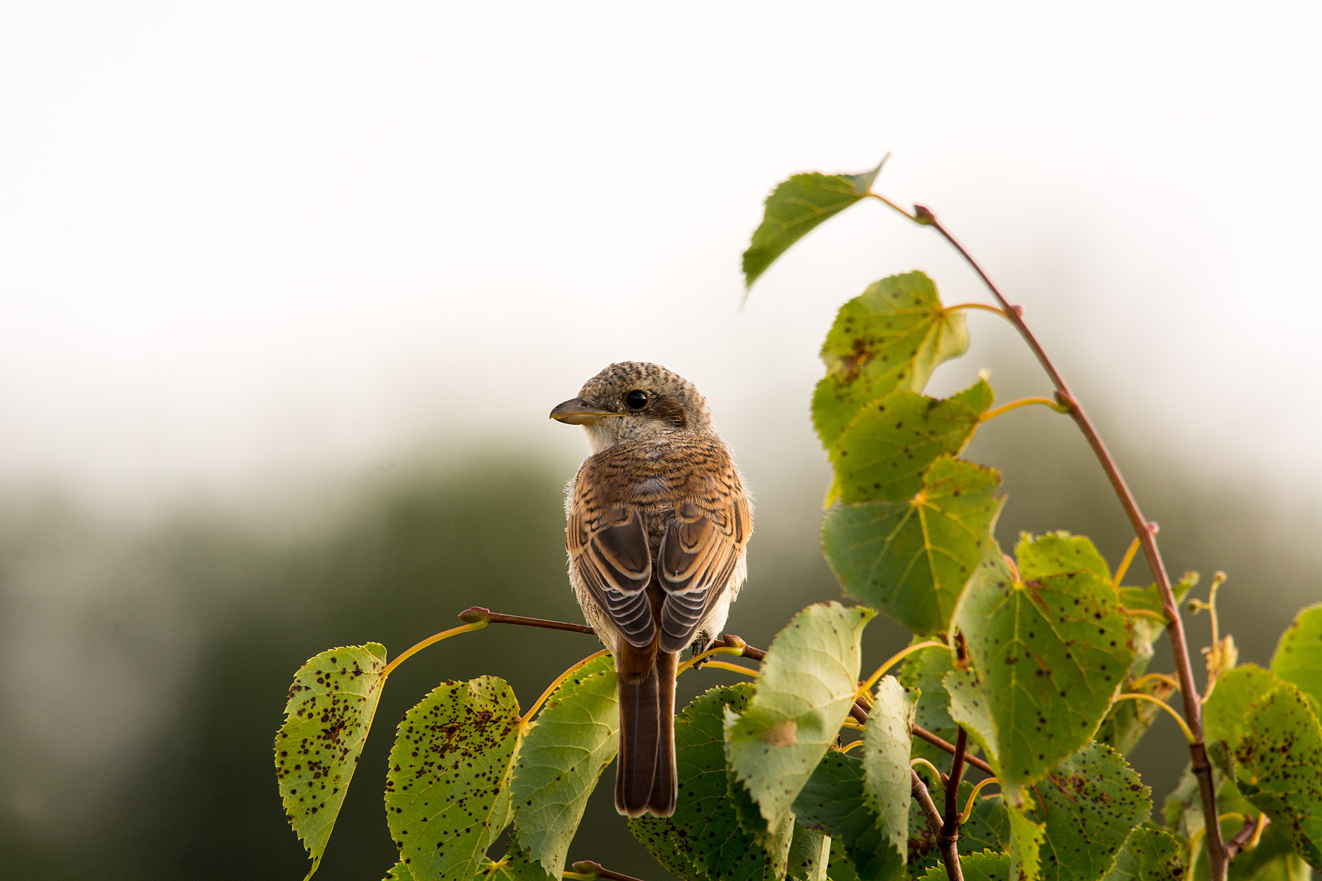 Red-backed shrike (immature)