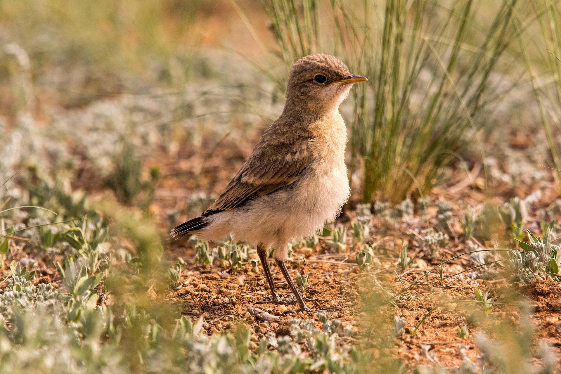 Isabelline wheatear (juvenile)