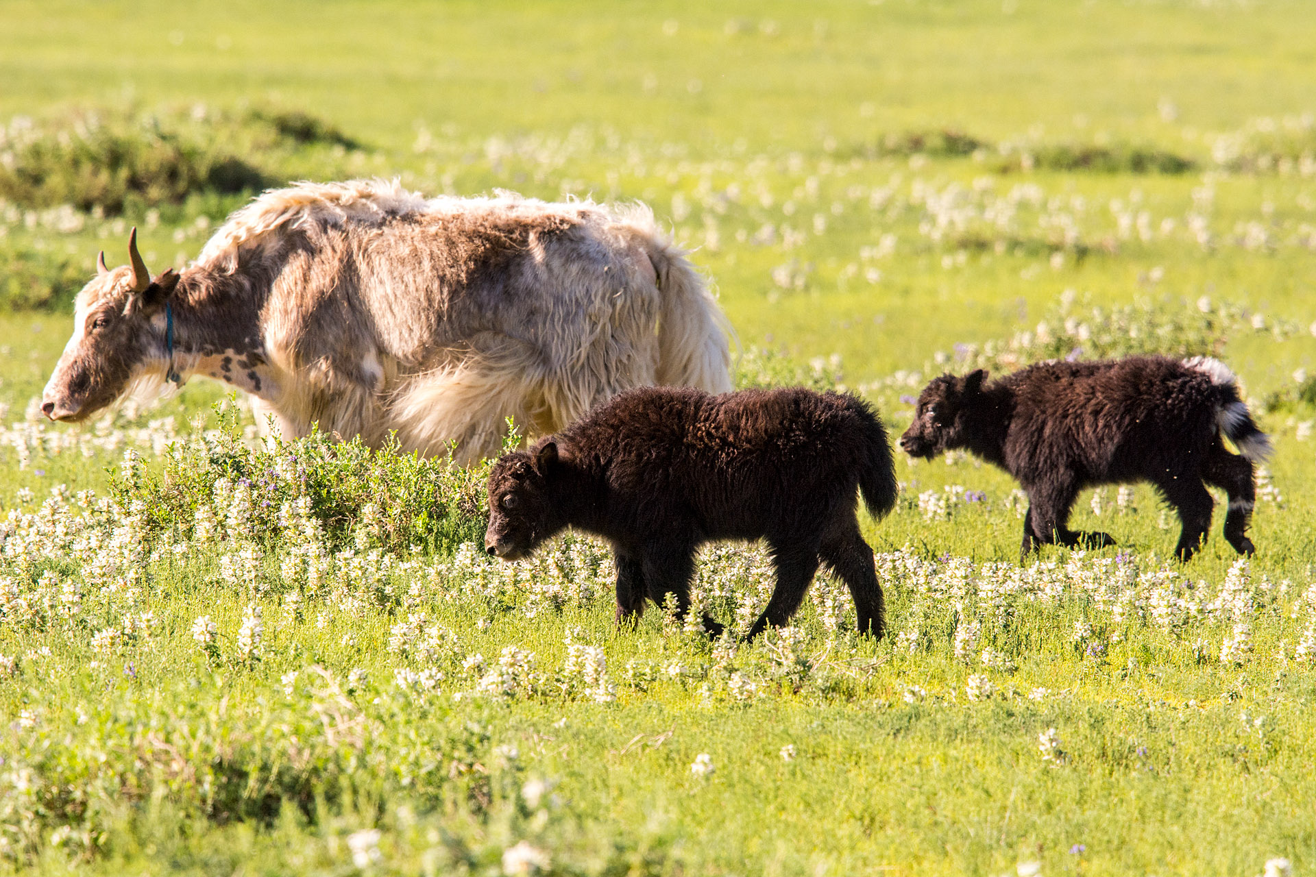 Baby yaks