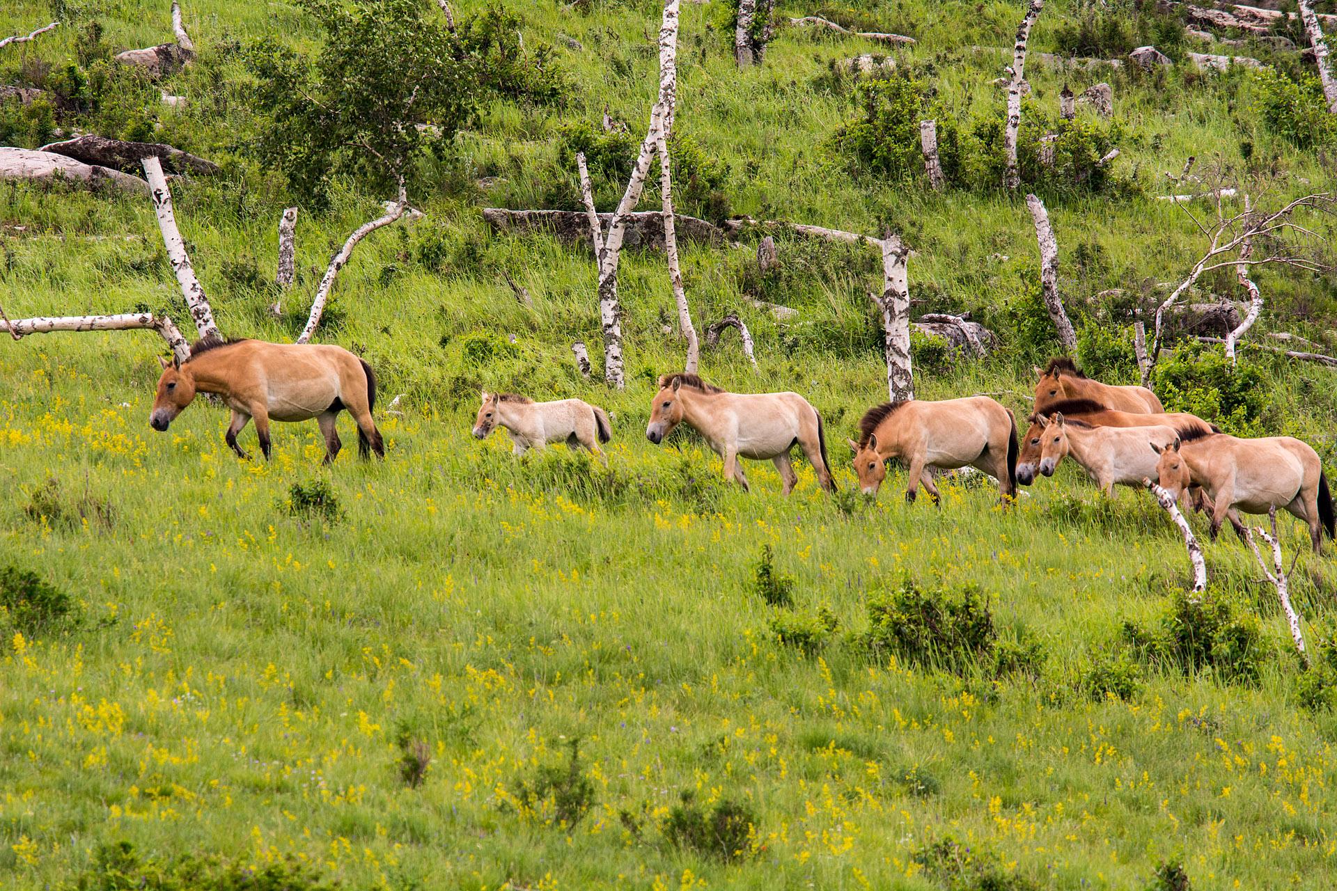 Takhi (Przewalski) horses