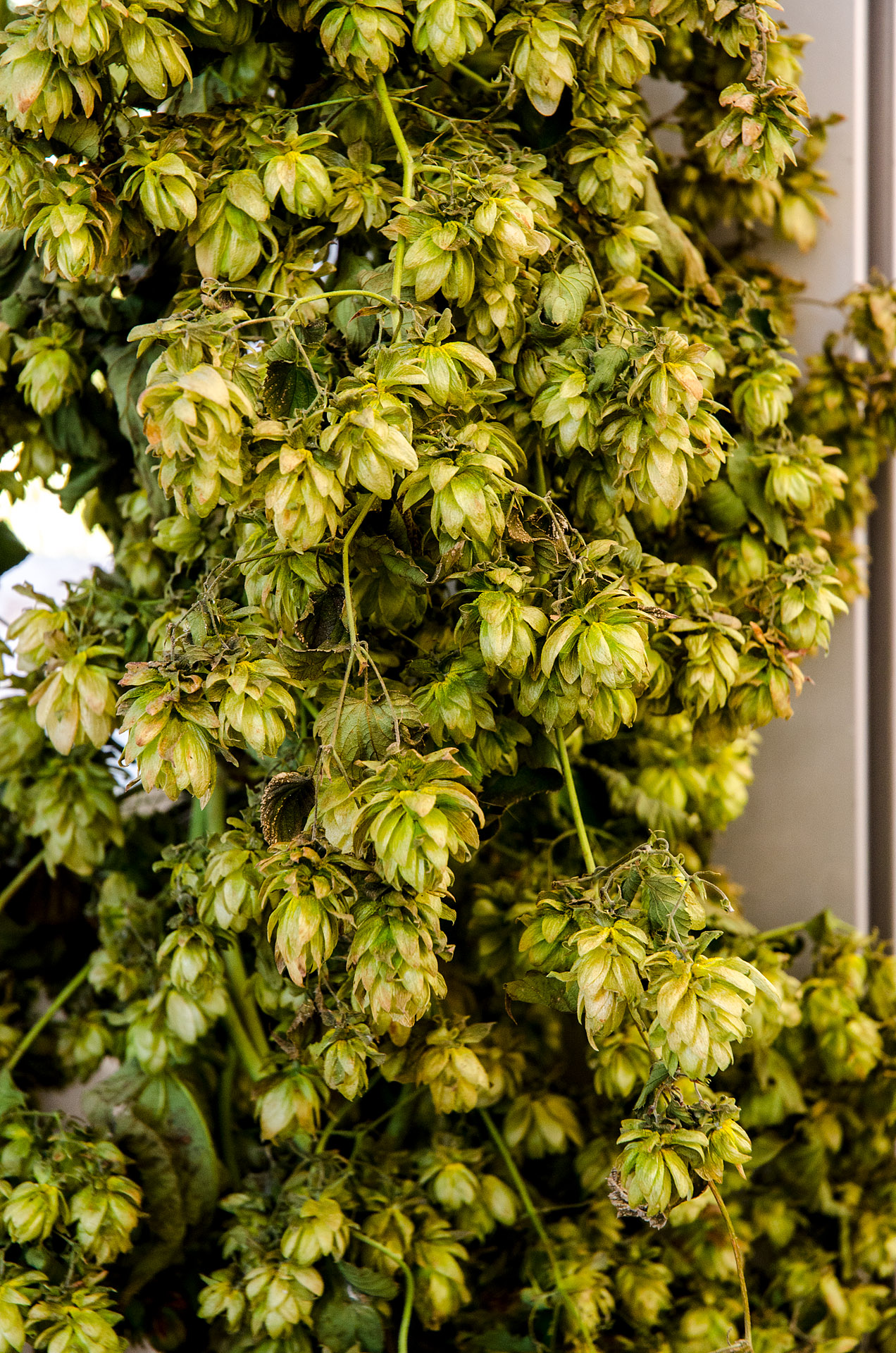 Styrian (Golding) hops