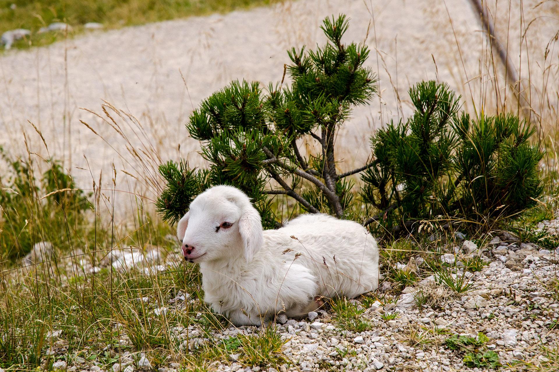 Bovec lamb