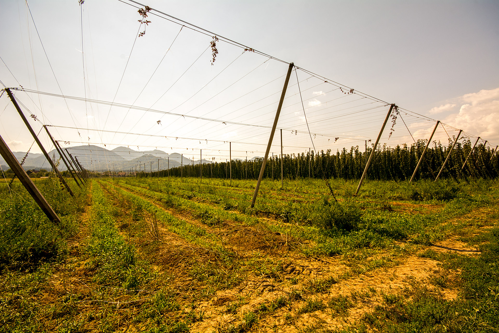 Savinja Valley (Zalec) hops