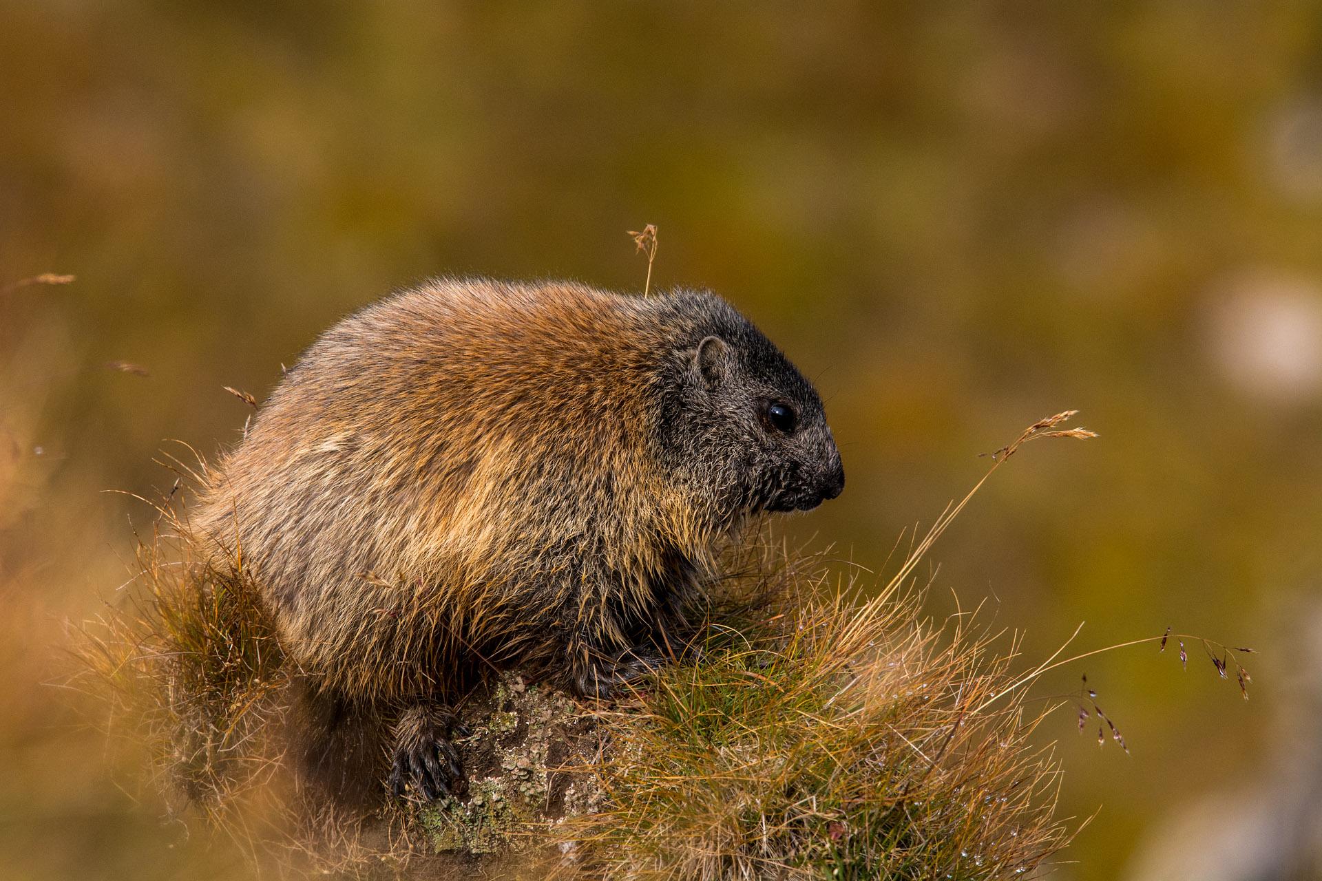 Alpine marmot (juvenile)