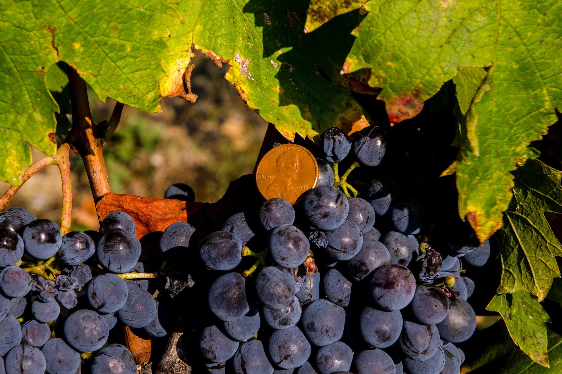Sangiovese grapes (Tuscany)