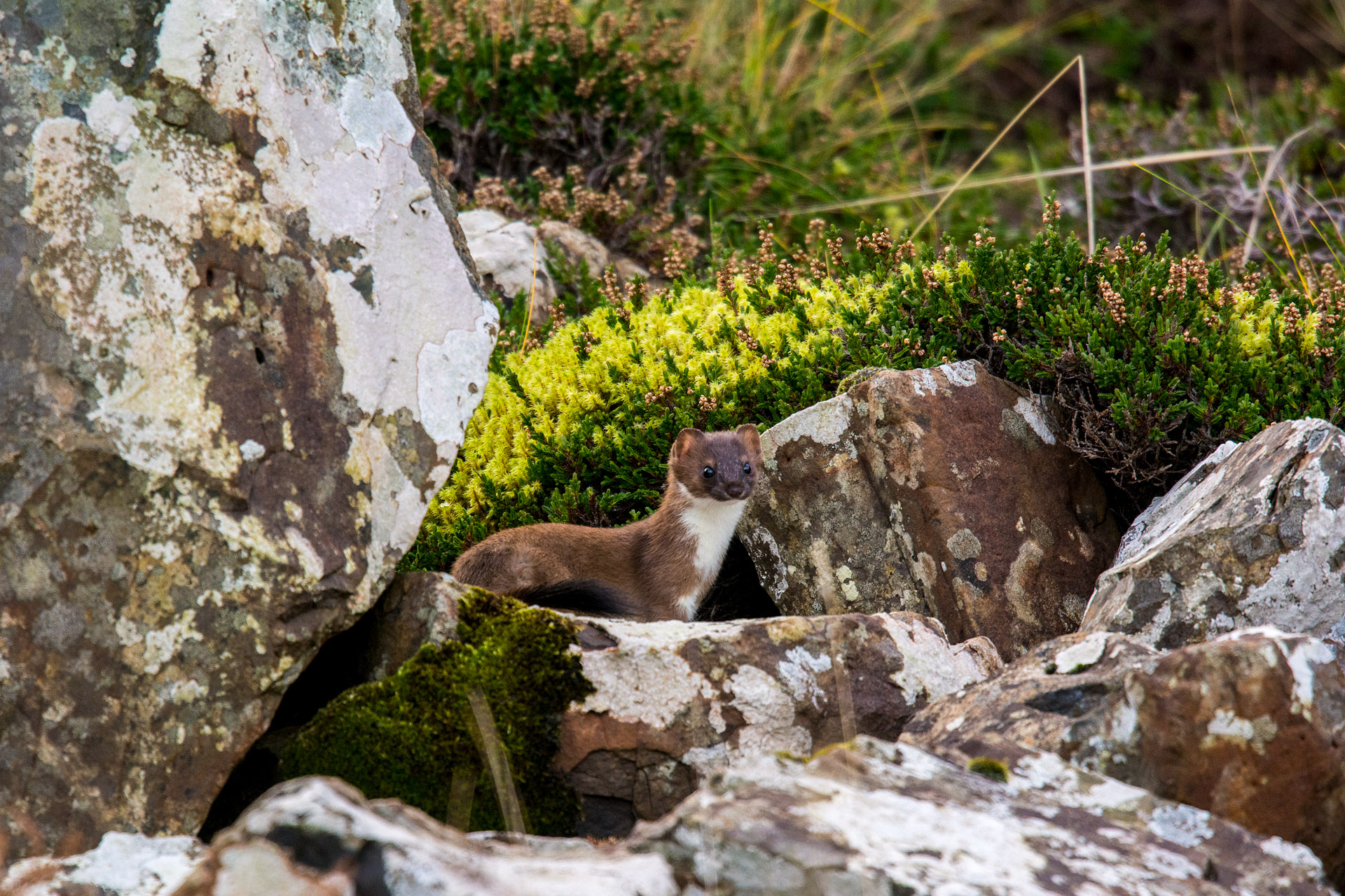 Irish stoat