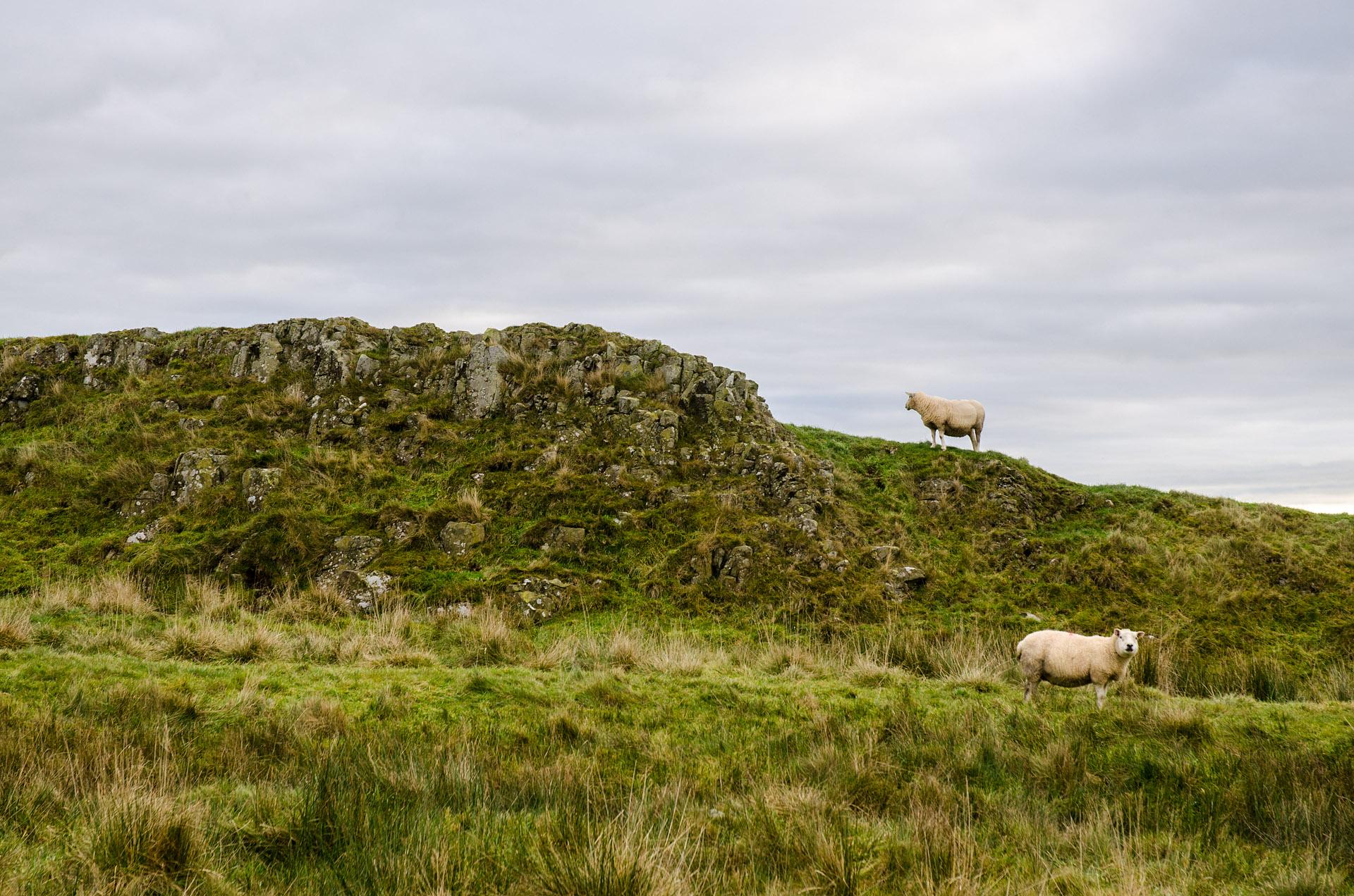 Hadrian's sheep