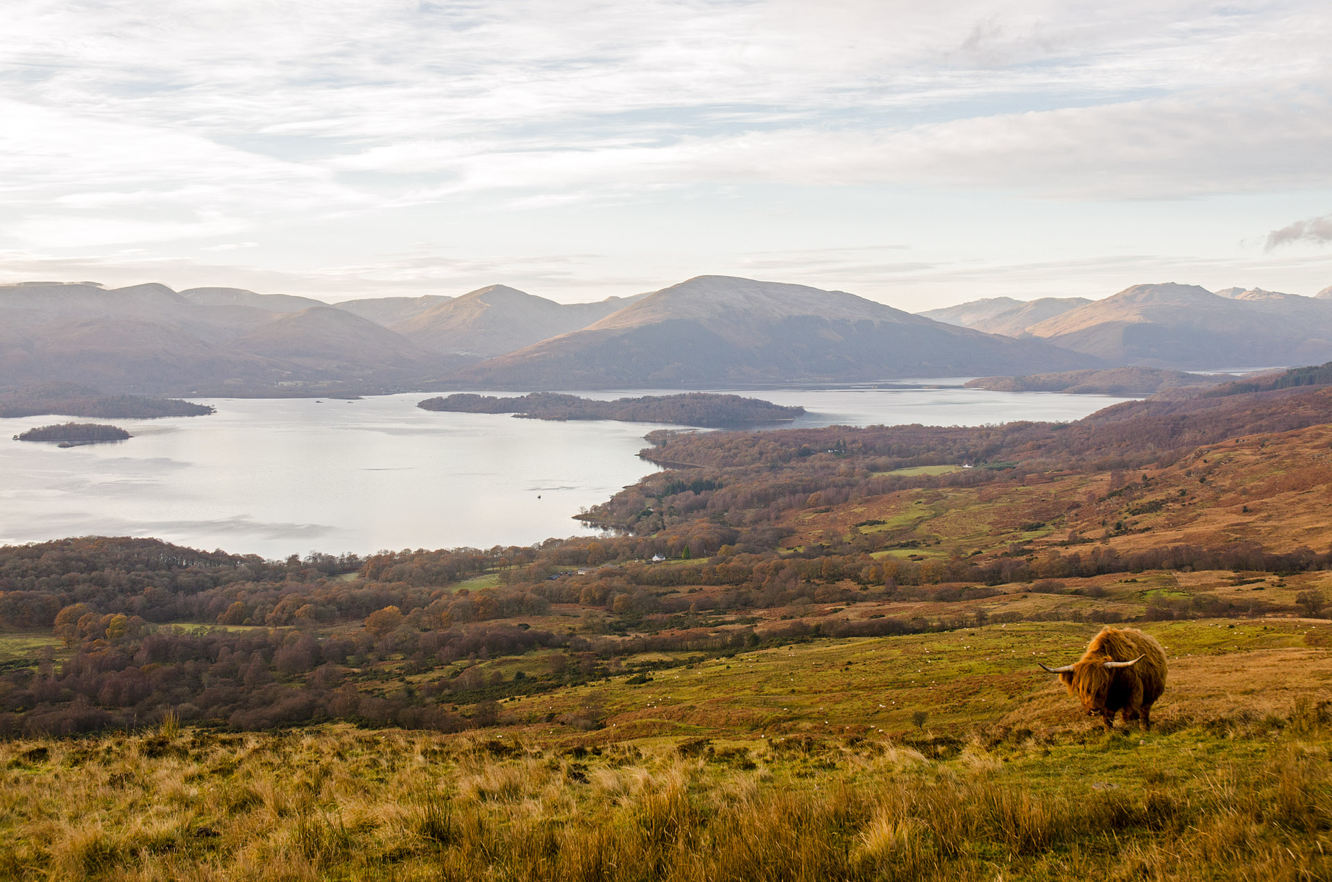 Highland cow grazing on Conic Hill