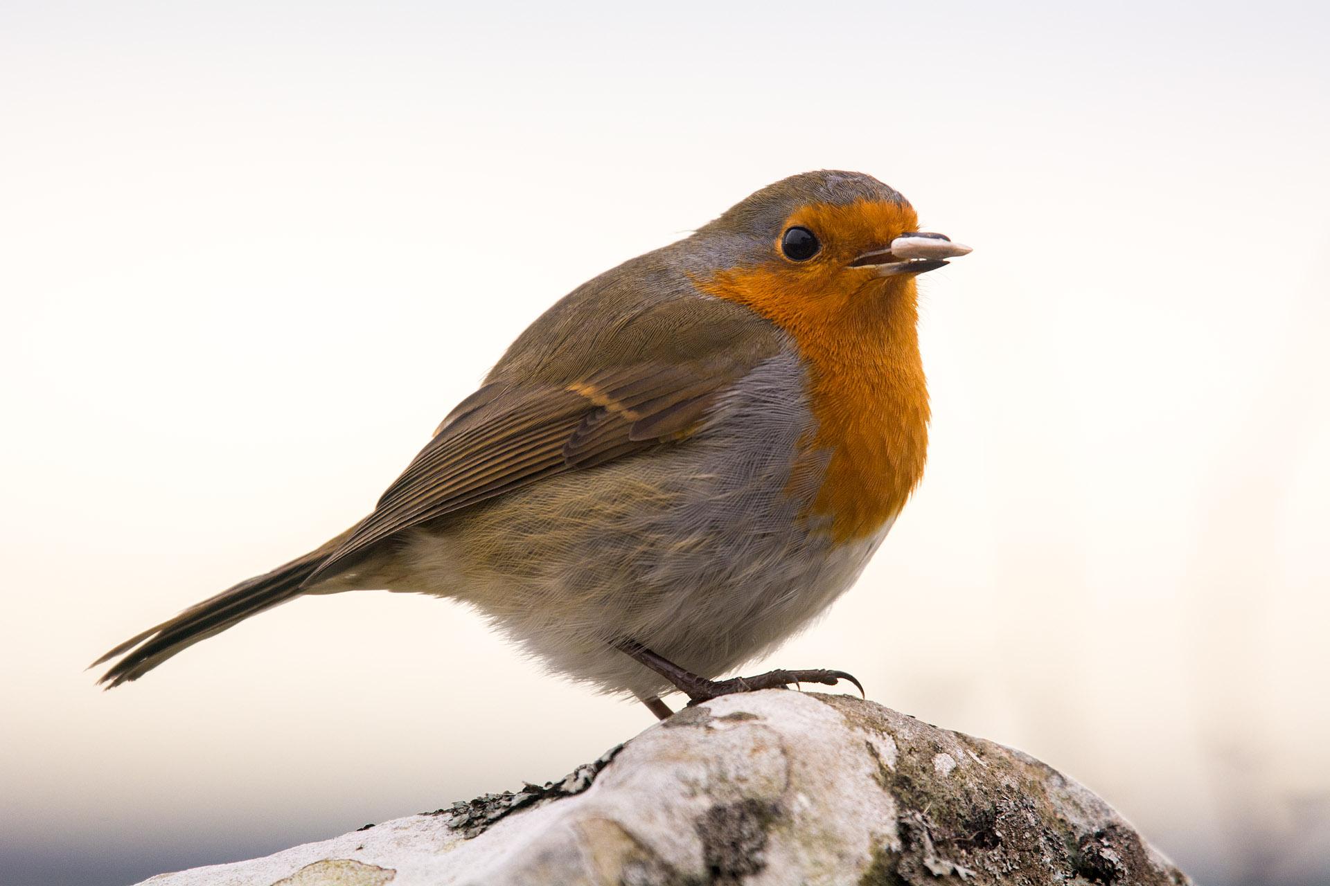 Hadrian's robin