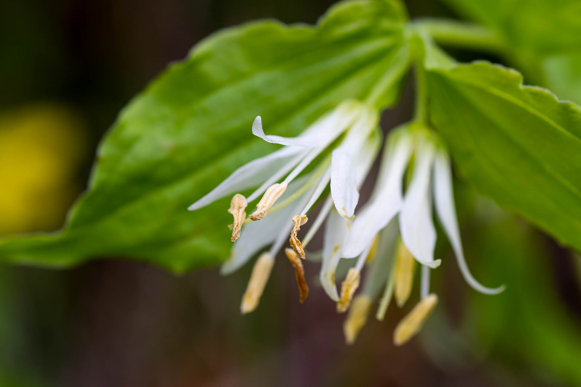 Rough-fruited fairybell