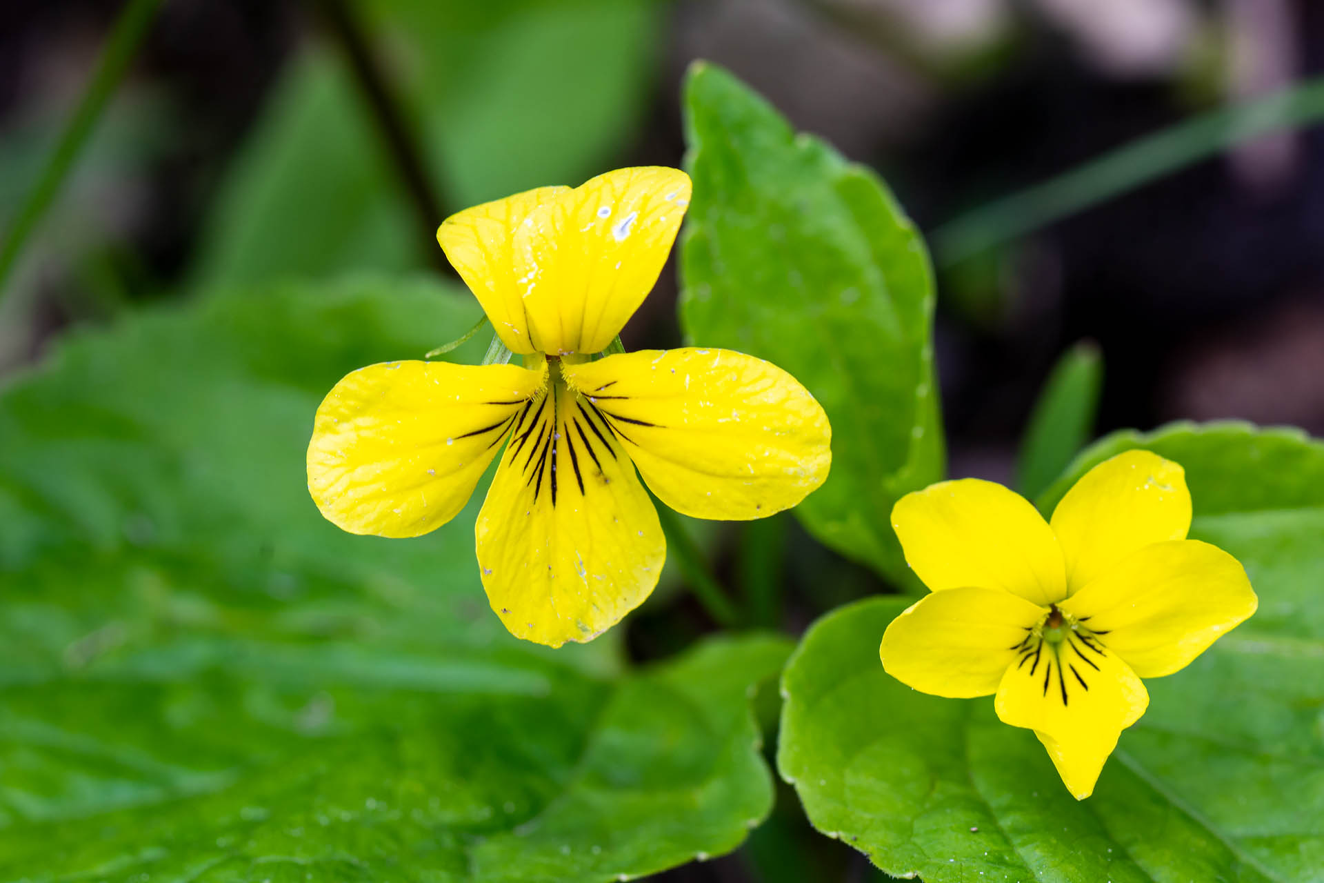 Smooth yellow woodland violet