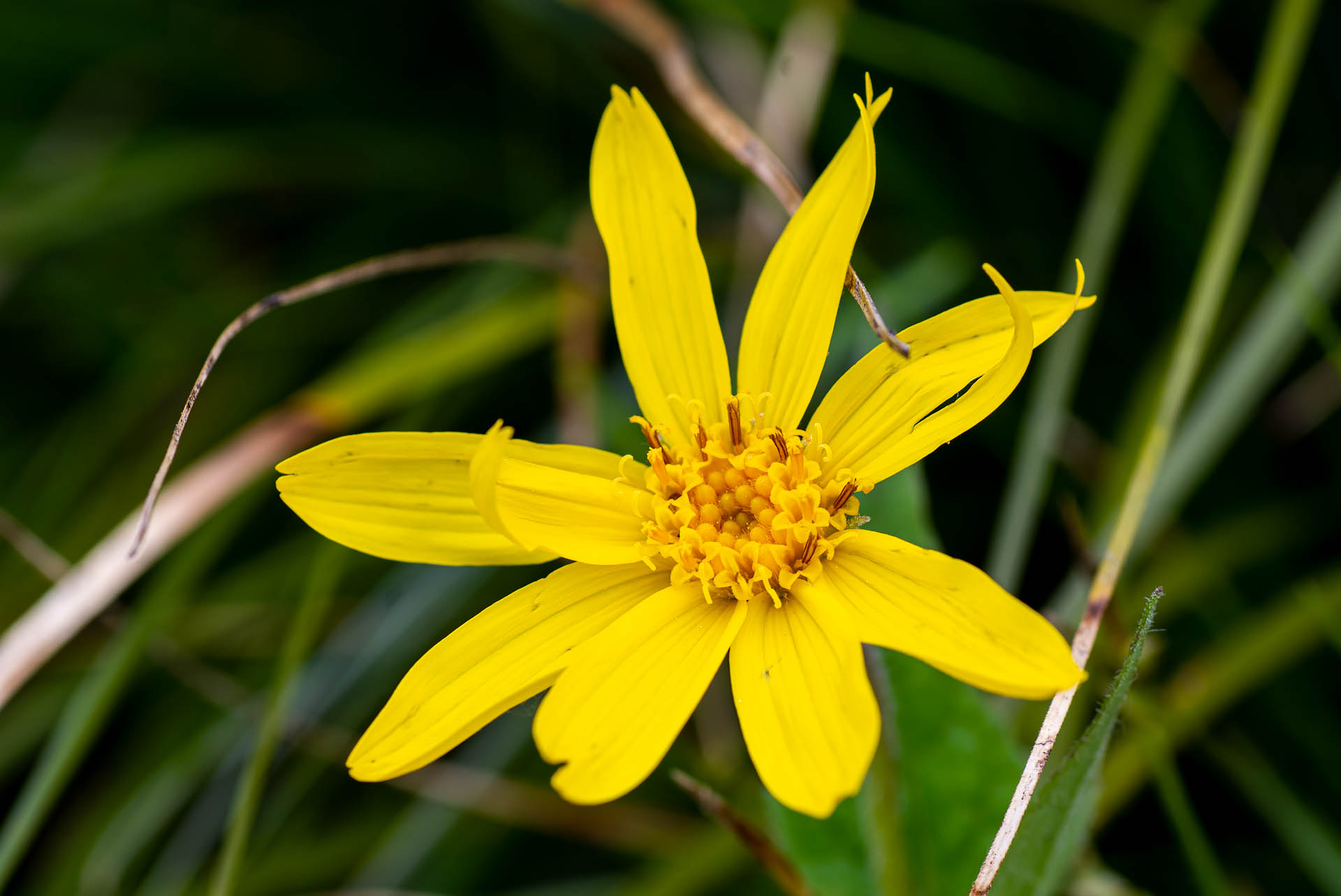 Heart-leaved arnica