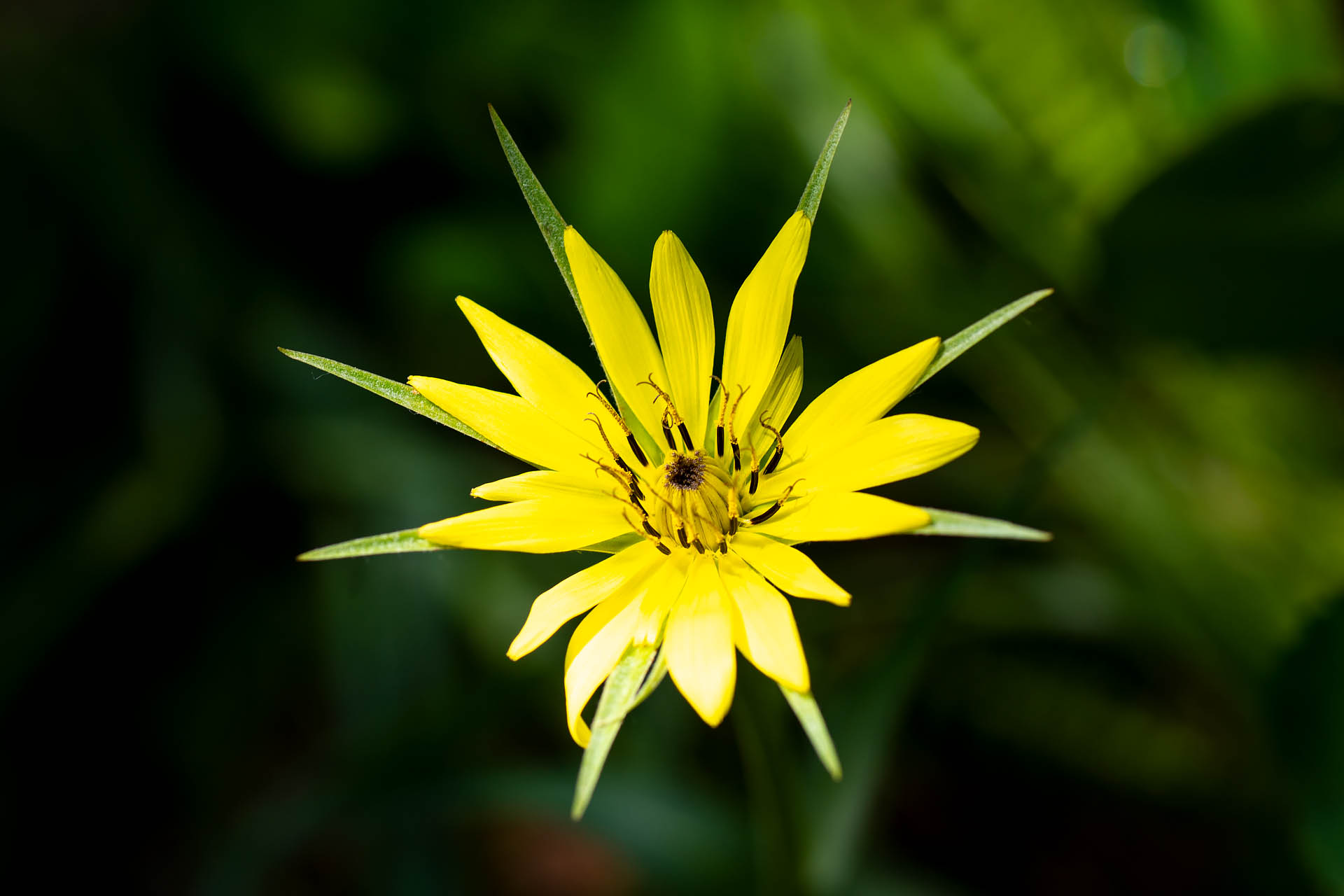 Yellow salsify (meadow goat's beard)