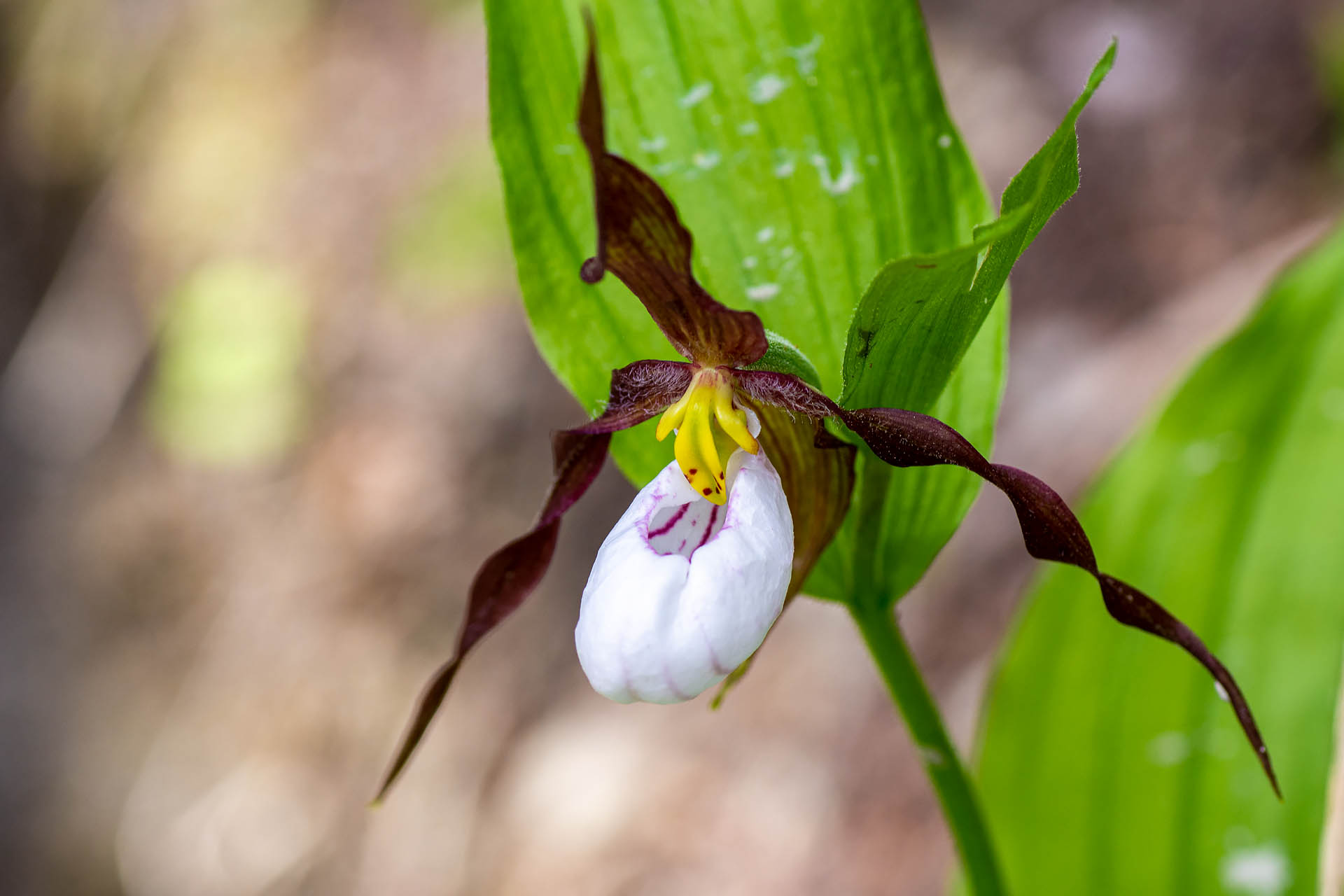Mountain ladyslipper